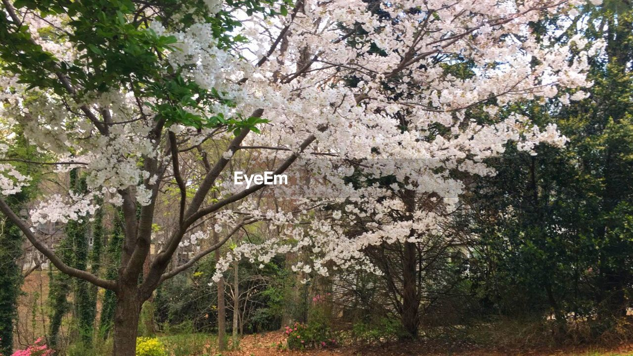 plant, tree, flowering plant, flower, growth, blossom, beauty in nature, springtime, freshness, nature, branch, fragility, day, vulnerability, cherry blossom, no people, outdoors, park, tranquility, fruit tree, cherry tree, spring