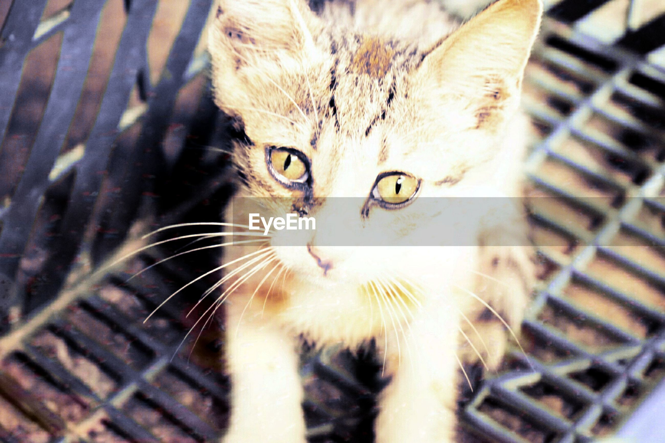 domestic cat, cat, feline, domestic animals, pets, whisker, mammal, portrait, close-up, staring, animal head, animal eye, alertness, no people, focus on foreground, selective focus, animal body part