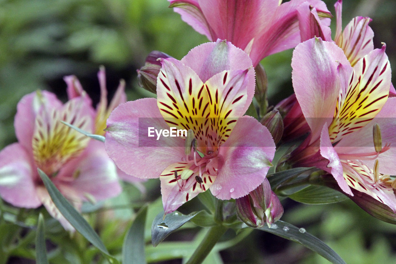 flower, petal, flower head, fragility, beauty in nature, growth, nature, freshness, no people, close-up, plant, stamen, day, pink color, outdoors, blooming, day lily