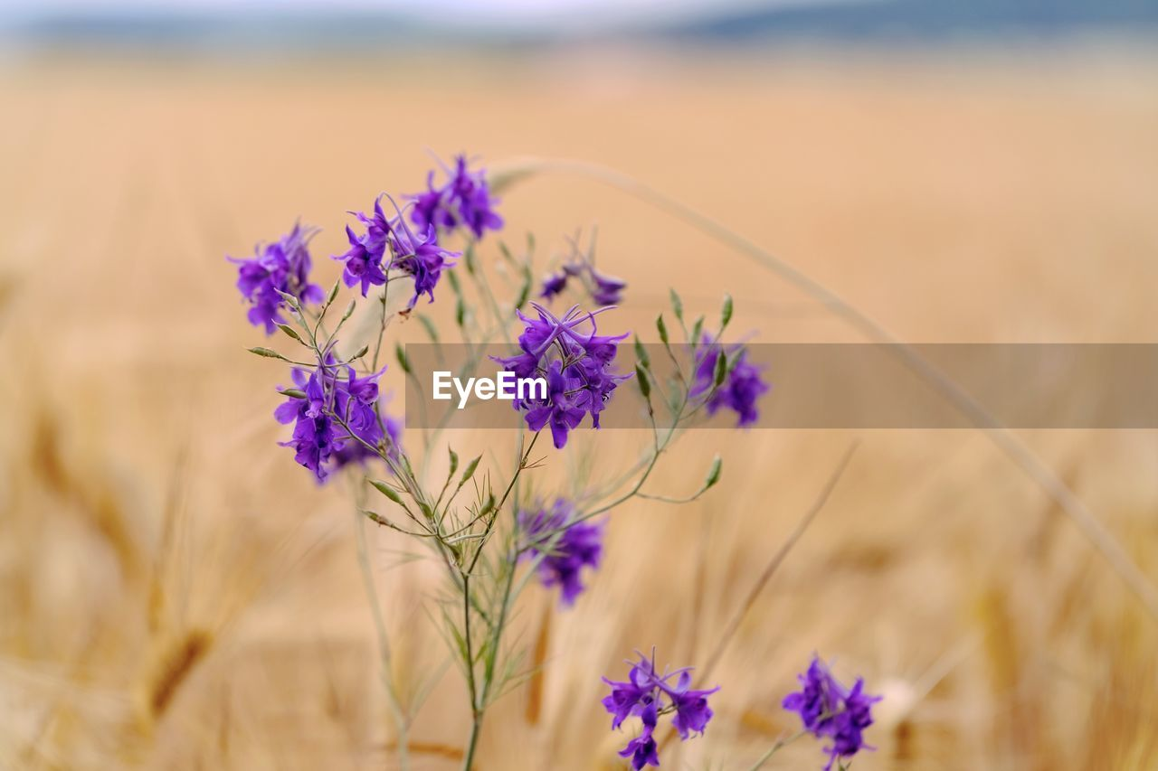 flowering plant, flower, plant, beauty in nature, vulnerability, growth, freshness, fragility, land, field, nature, selective focus, close-up, no people, focus on foreground, day, landscape, agriculture, tranquility, purple, outdoors, flower head