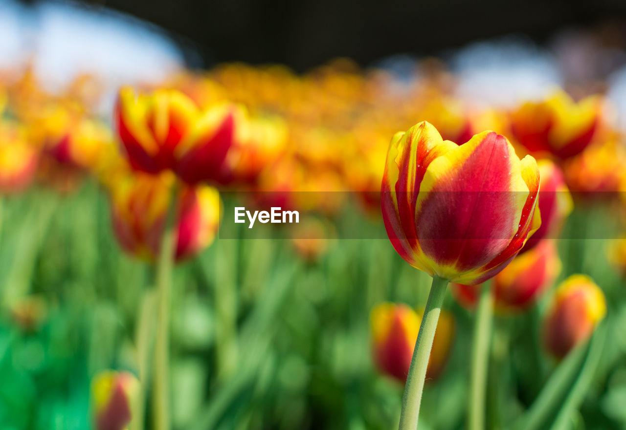 flower, flowering plant, fragility, beauty in nature, freshness, vulnerability, plant, growth, close-up, petal, flower head, focus on foreground, inflorescence, nature, no people, tulip, plant stem, yellow, field, day, outdoors, springtime