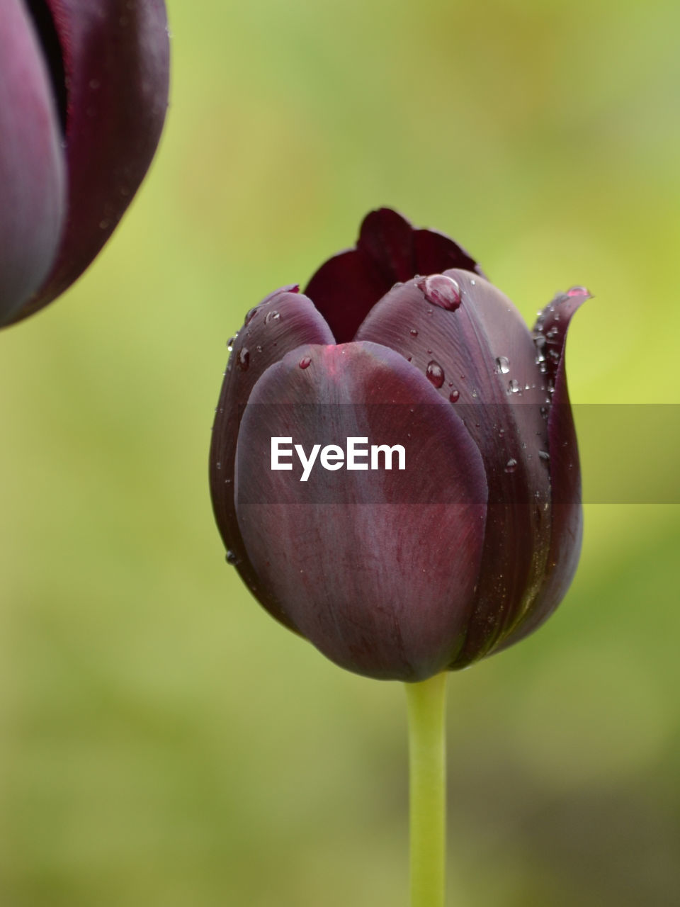 Close-Up Of Water Drops On Tulip