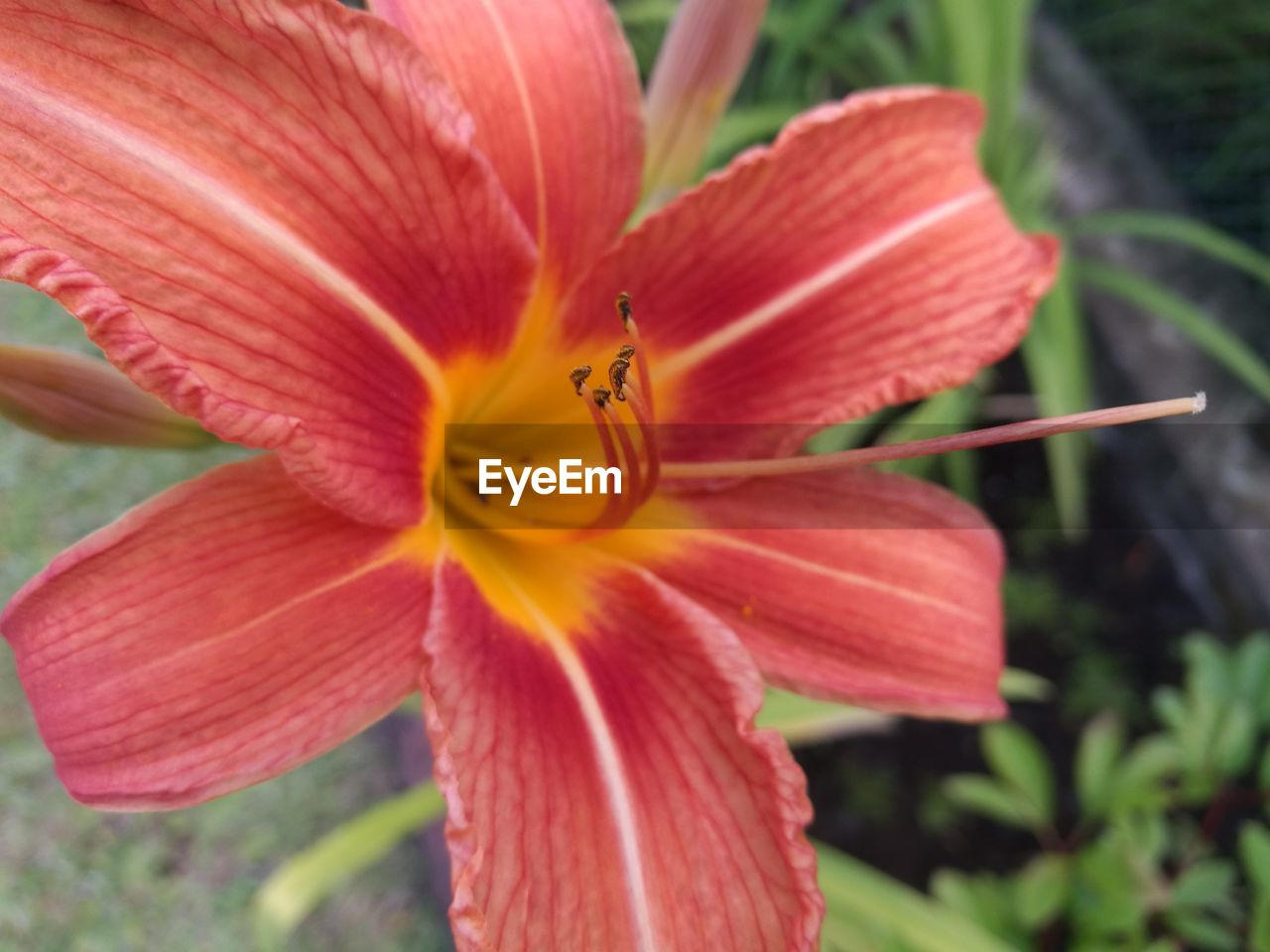 flower, petal, one animal, insect, animal themes, animals in the wild, nature, growth, beauty in nature, fragility, animal wildlife, close-up, plant, outdoors, no people, flower head, freshness, day, focus on foreground, bee, blooming, day lily