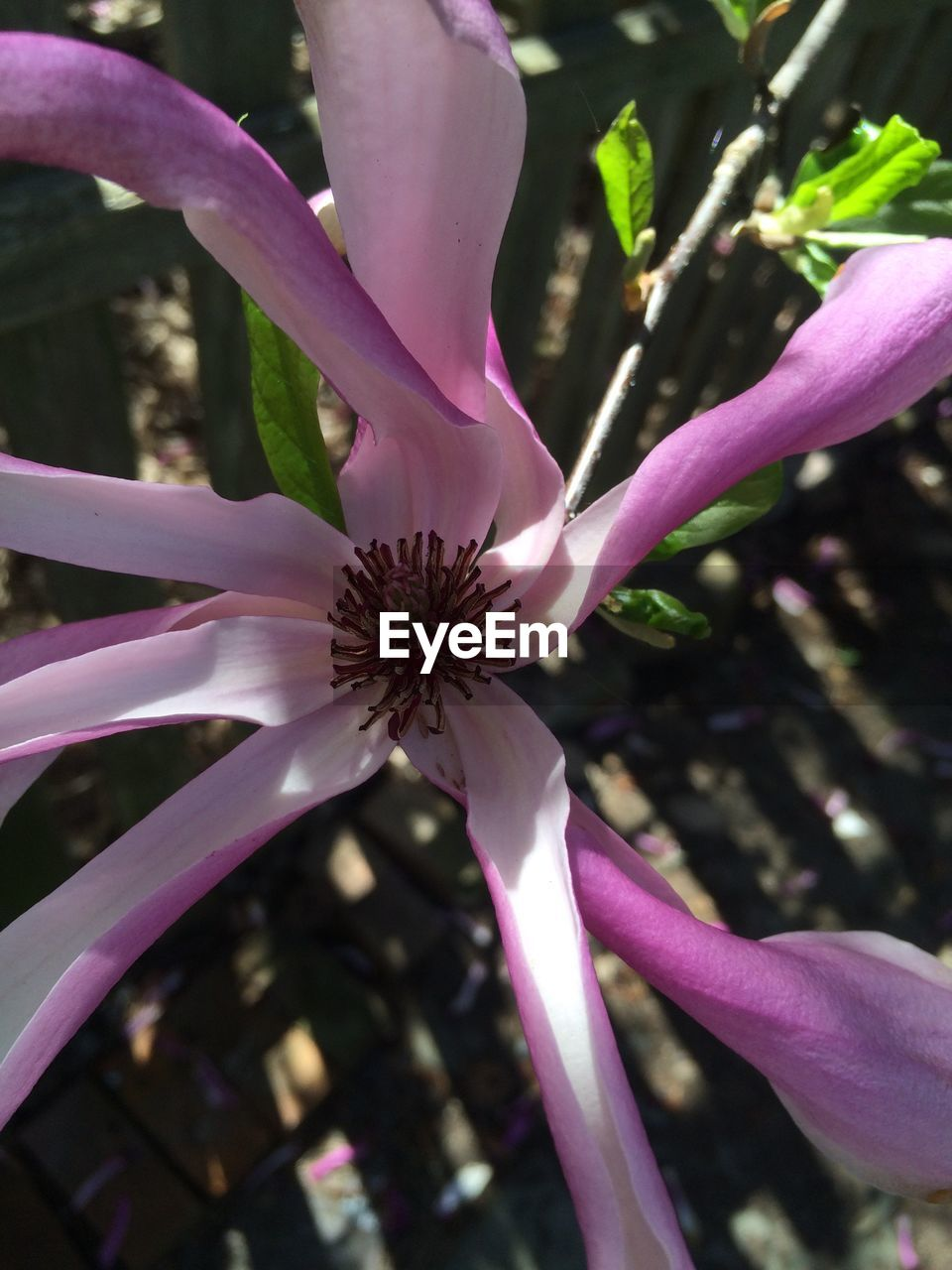flower, growth, fragility, petal, nature, beauty in nature, freshness, plant, botany, blossom, pink color, close-up, no people, flower head, purple, outdoors, stamen, day, springtime, blooming, tree