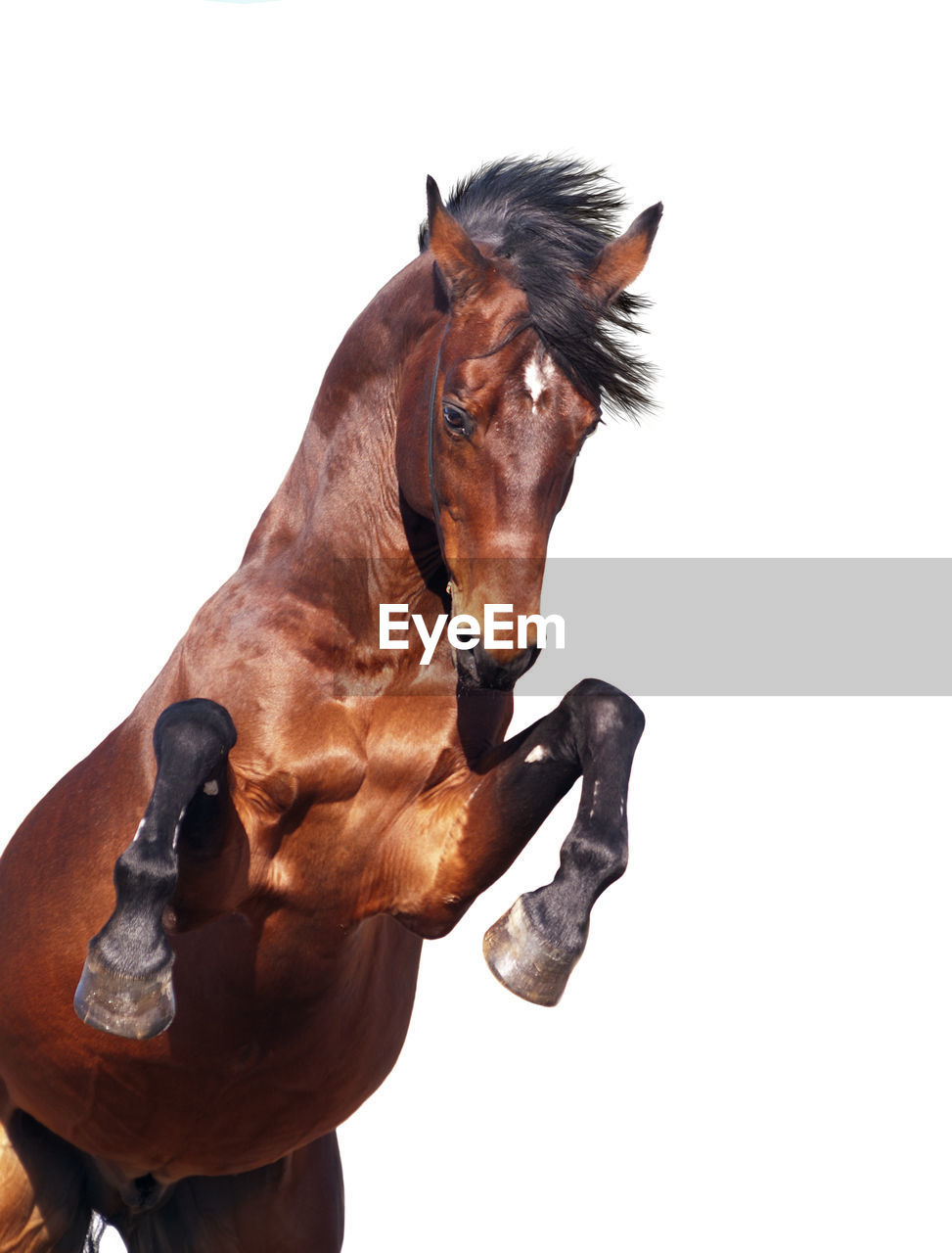 horse, white background, domestic animals, studio shot, mammal, brown, livestock, animal themes, one animal, no people, close-up, day, outdoors