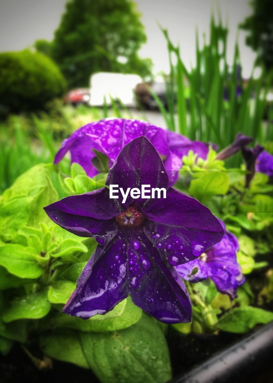 plant, flowering plant, flower, beauty in nature, growth, purple, vulnerability, close-up, fragility, freshness, petal, inflorescence, flower head, nature, drop, focus on foreground, no people, wet, water