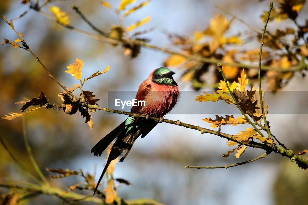 branch, tree, perching, nature, beauty in nature, one animal, animals in the wild, bird, animal themes, animal wildlife, twig, no people, focus on foreground, day, songbird, leaf, outdoors, red, growth, close-up, flower