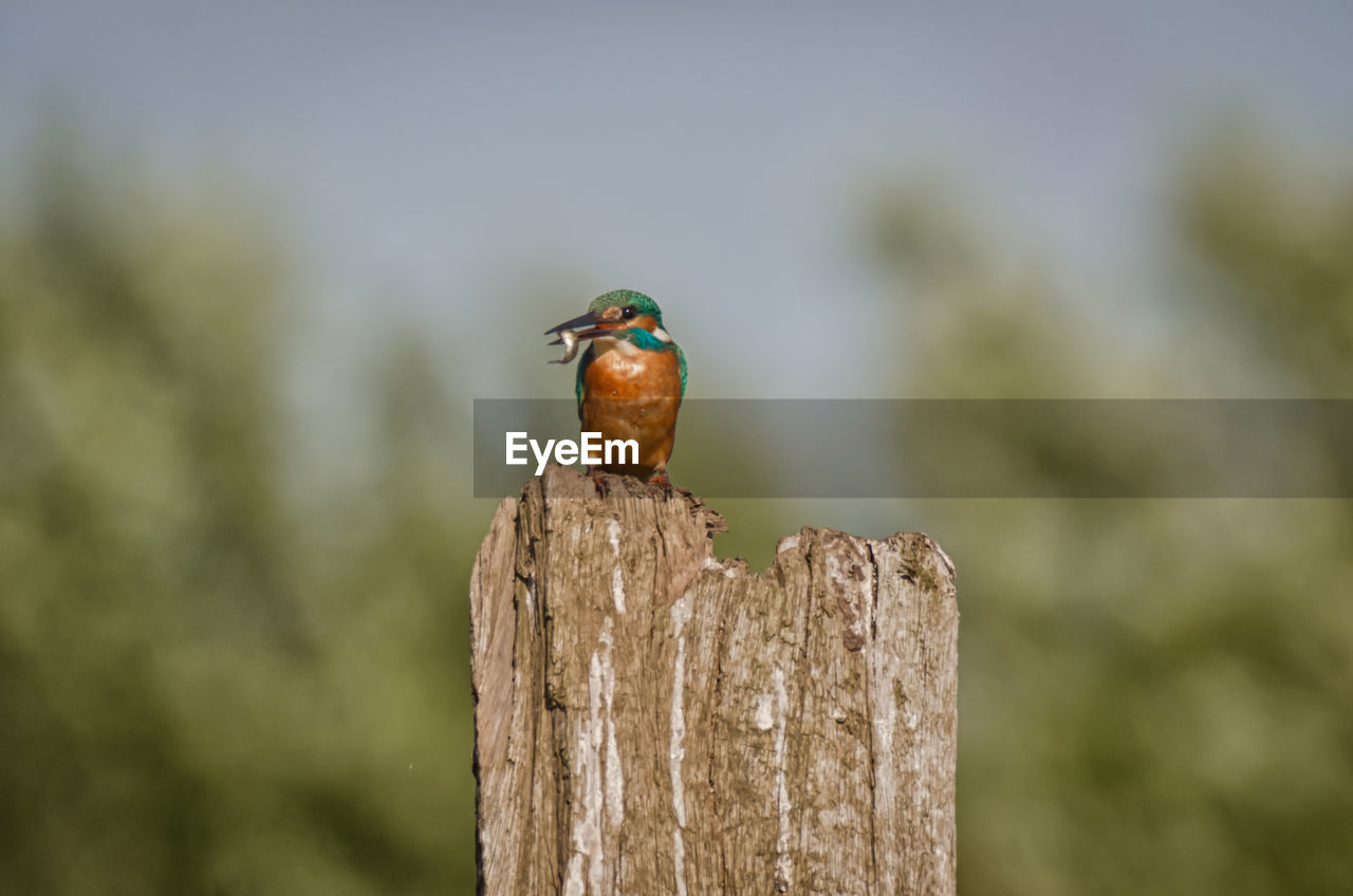 animals in the wild, animal wildlife, animal themes, vertebrate, animal, bird, one animal, focus on foreground, perching, wood - material, day, no people, nature, outdoors, wooden post, post, close-up, tree, kingfisher, tree stump, turquoise colored
