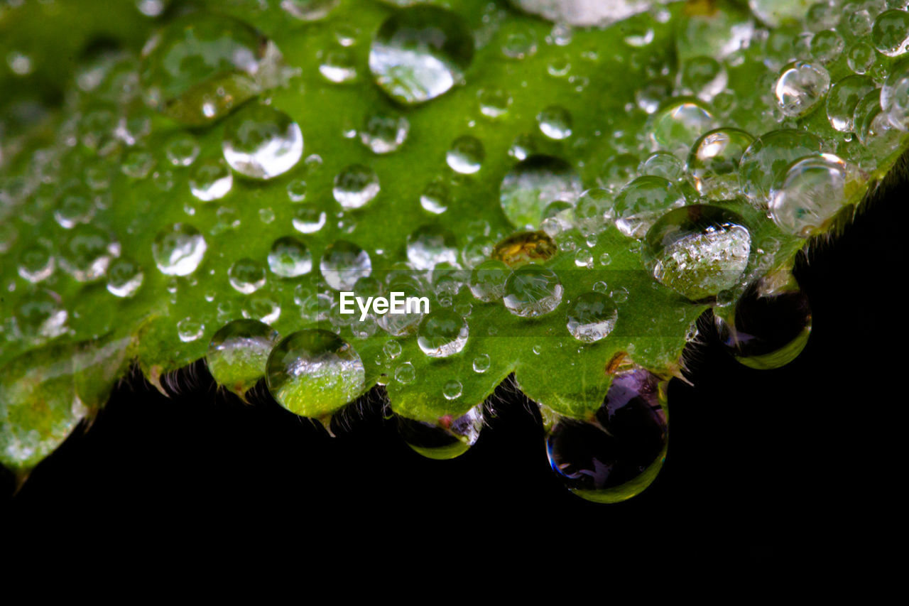 CLOSE-UP OF DEW DROPS ON LEAVEs