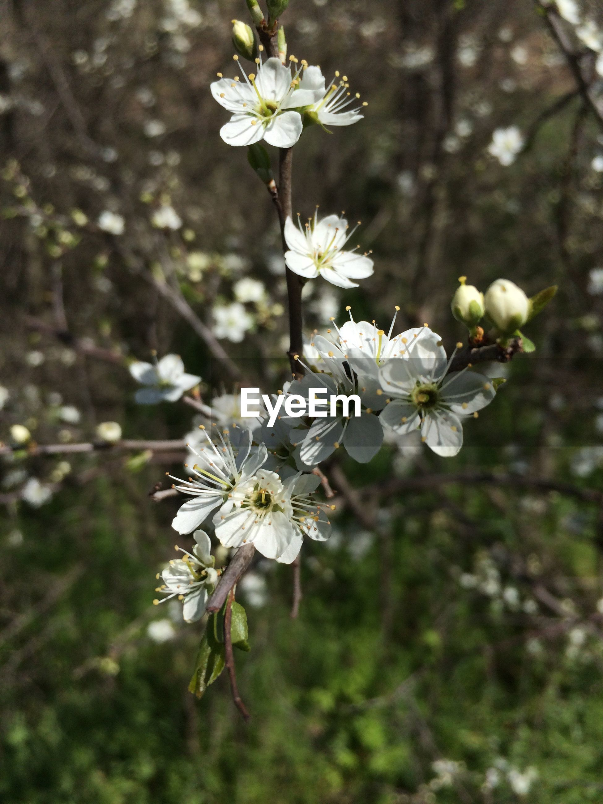 flower, blossom, nature, fragility, growth, white color, tree, apple blossom, beauty in nature, petal, delicate, springtime, freshness, branch, blooming, no people, stamen, tissue, flower head, spring, close-up, day, outdoors