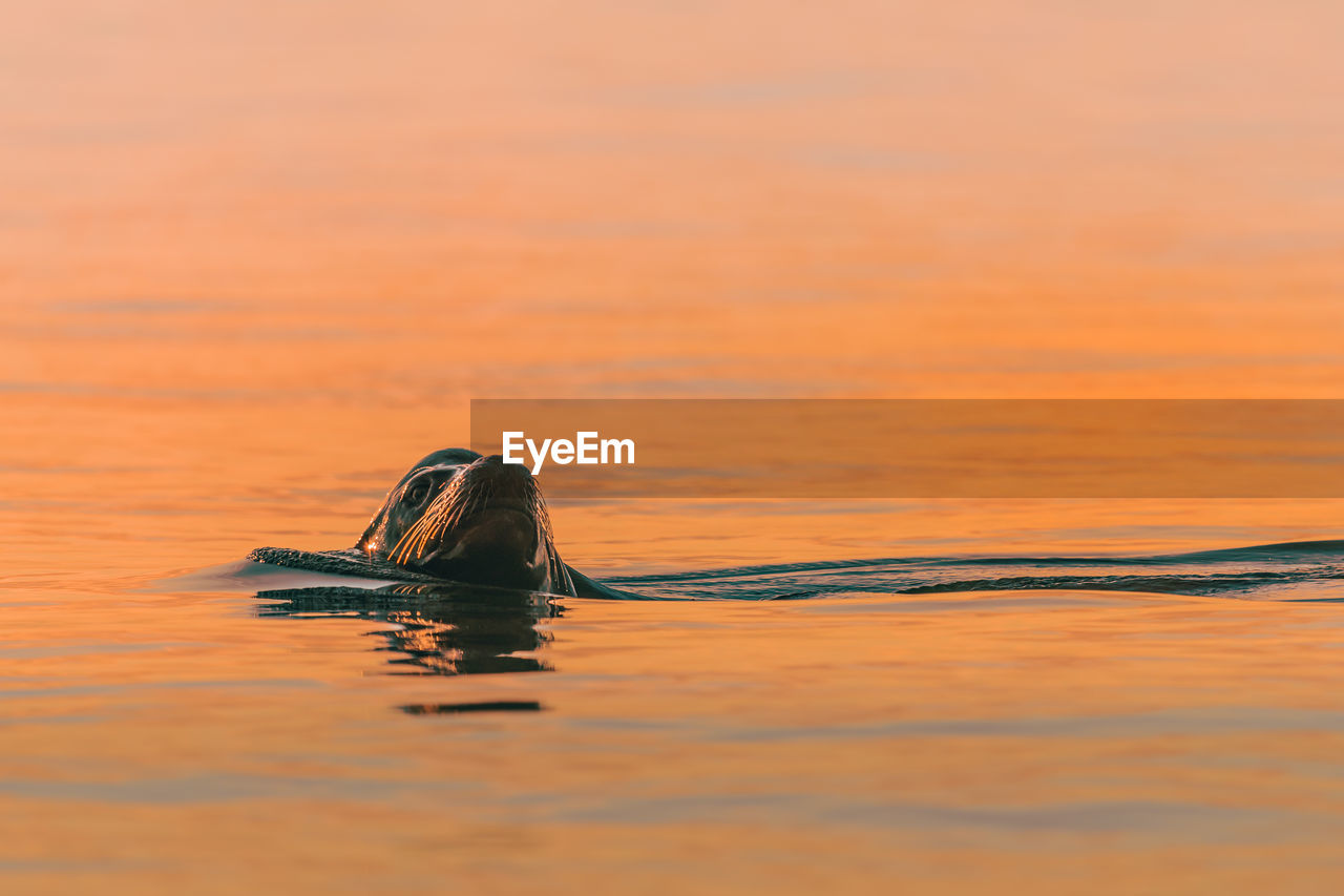 Close-up of sea lion swimming in water during sunset