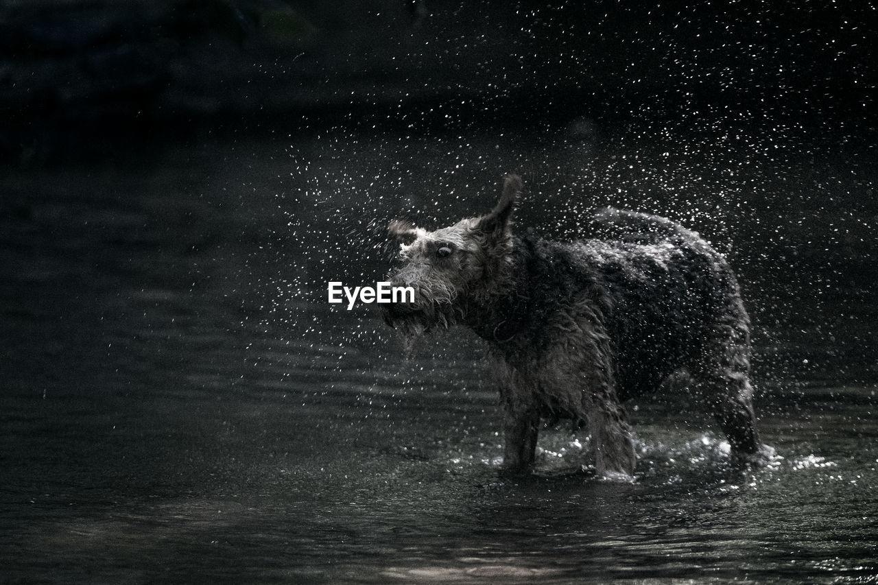 Dog splashing water while standing in lake