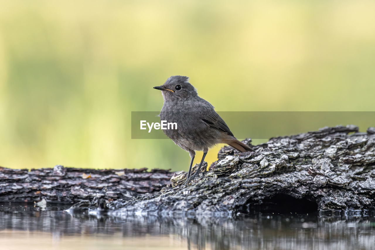 animal themes, bird, animals in the wild, animal, animal wildlife, one animal, vertebrate, perching, selective focus, no people, day, focus on foreground, water, close-up, outdoors, nature, wood - material, full length, tree