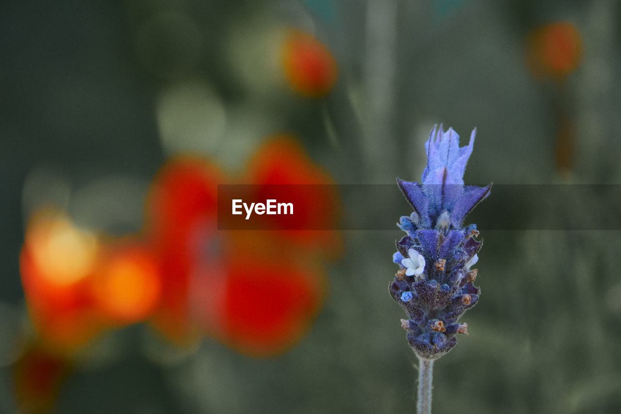 flowering plant, flower, plant, purple, focus on foreground, vulnerability, close-up, freshness, fragility, growth, beauty in nature, day, no people, inflorescence, nature, flower head, petal, outdoors, plant stem, blue