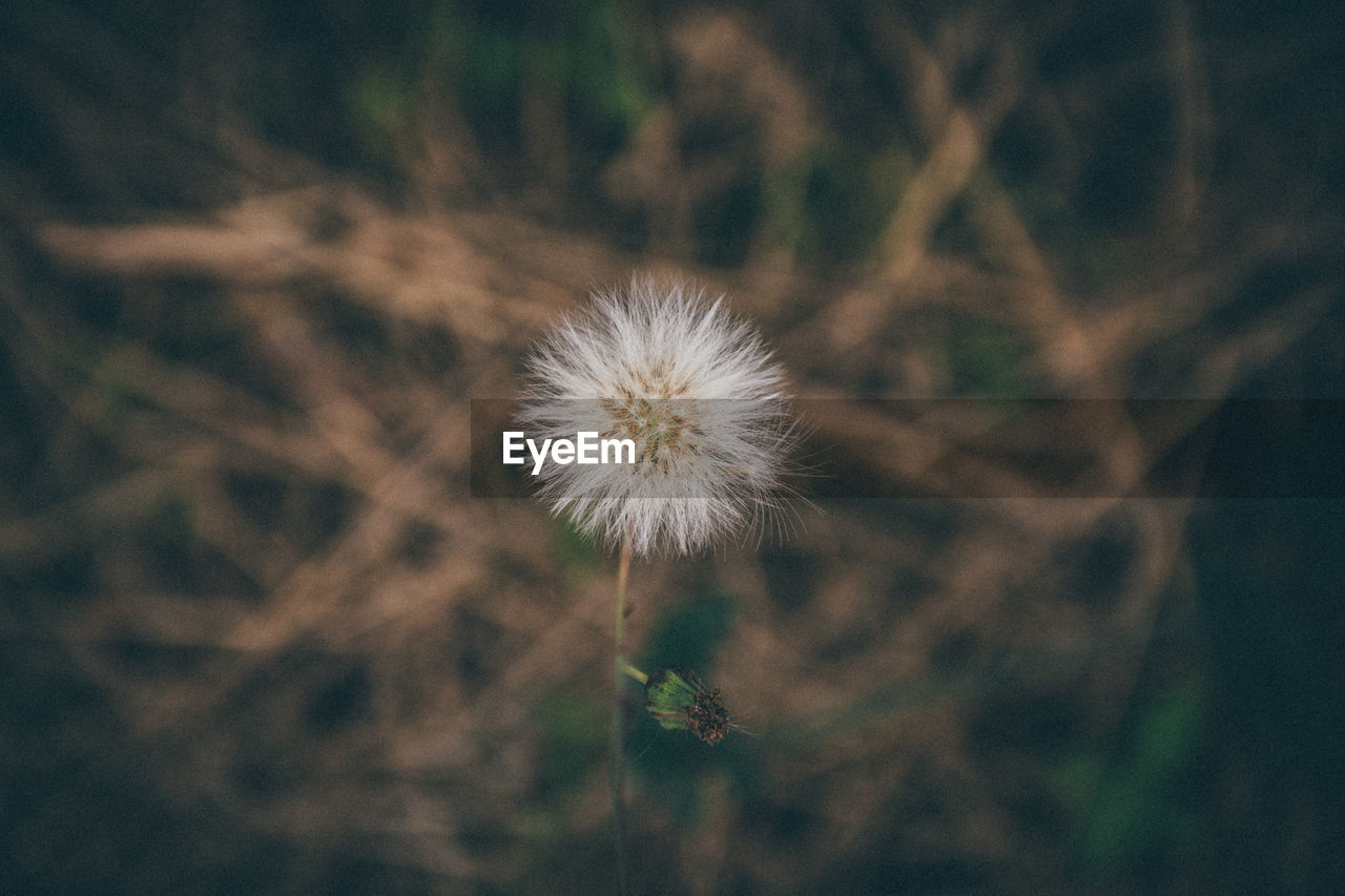 flower, flowering plant, plant, fragility, freshness, vulnerability, dandelion, beauty in nature, growth, close-up, focus on foreground, flower head, nature, inflorescence, no people, field, land, day, plant stem, outdoors, softness, dandelion seed