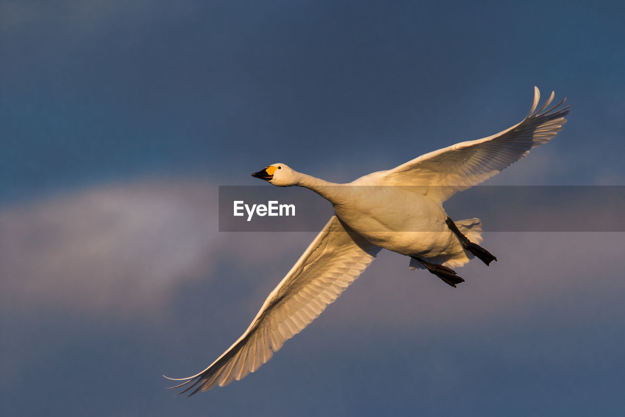 Low Angle View Of Whooper Swan Flying Against Sky
