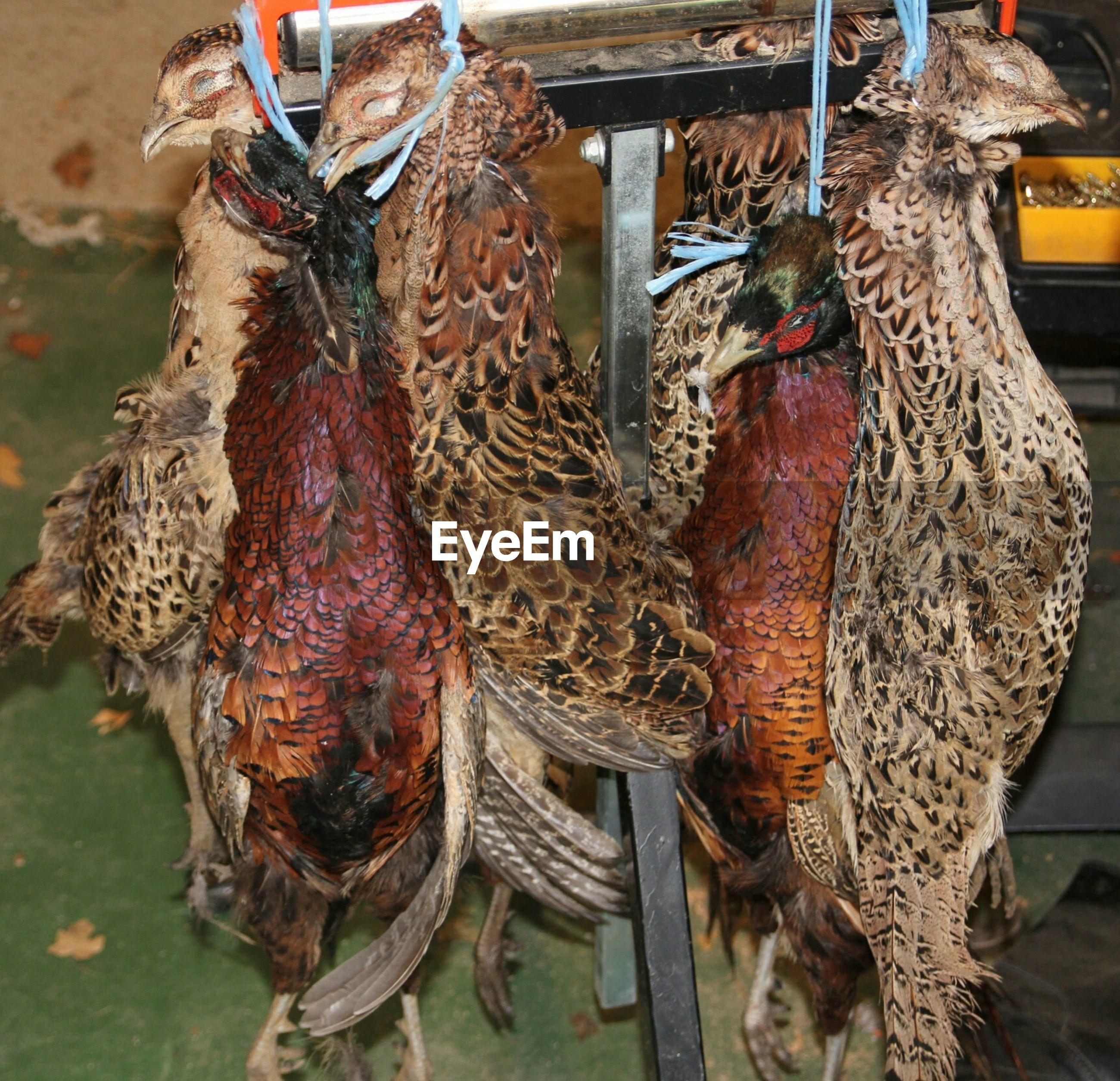 Dead pheasants hanging on wood