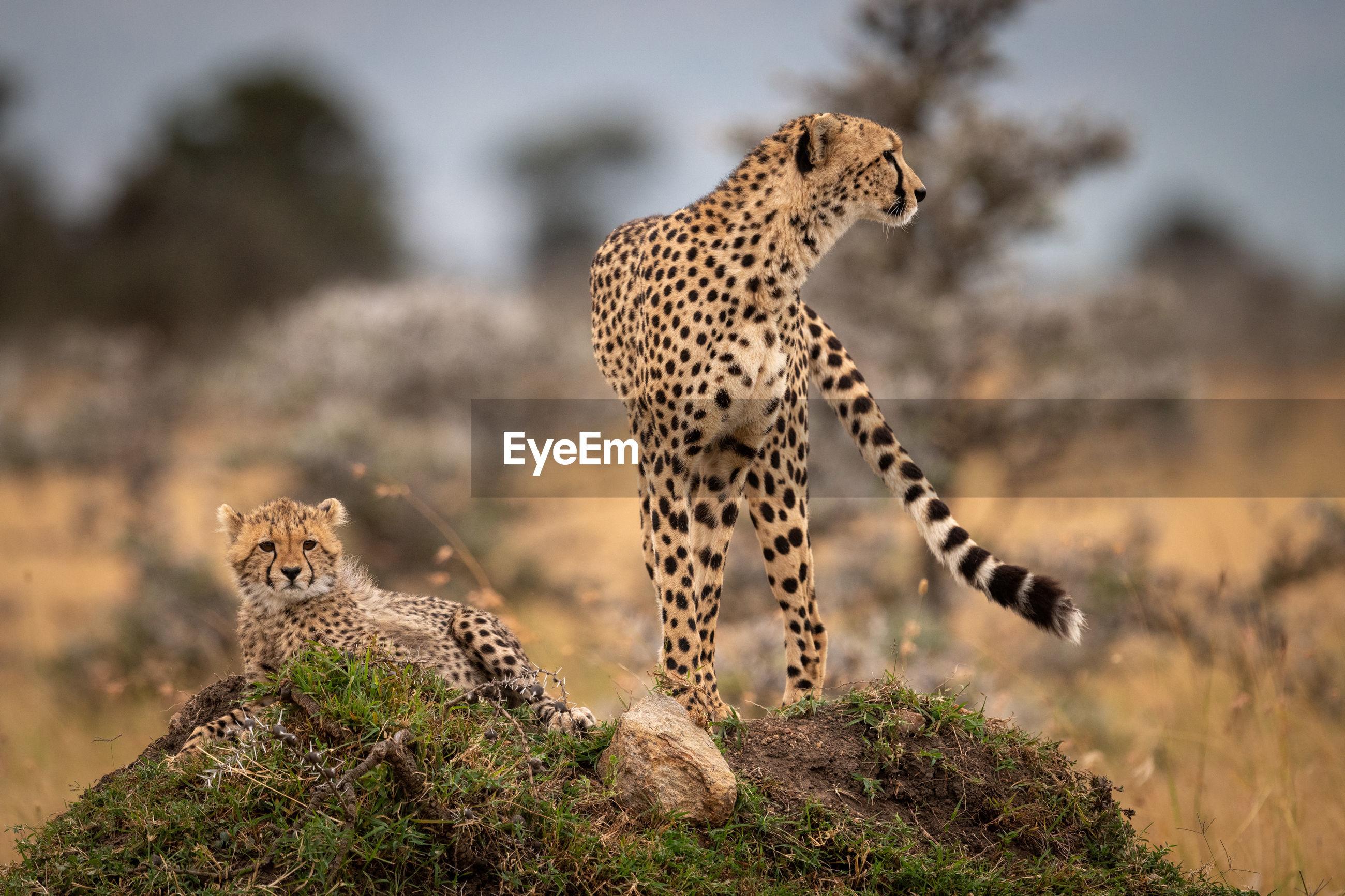 Cheetah family on grassy field