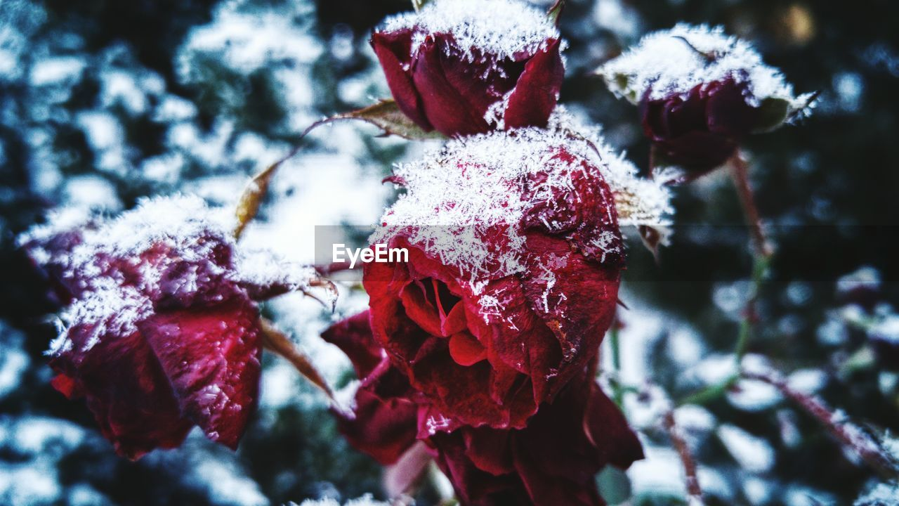 Close-Up Of Snowed Roses