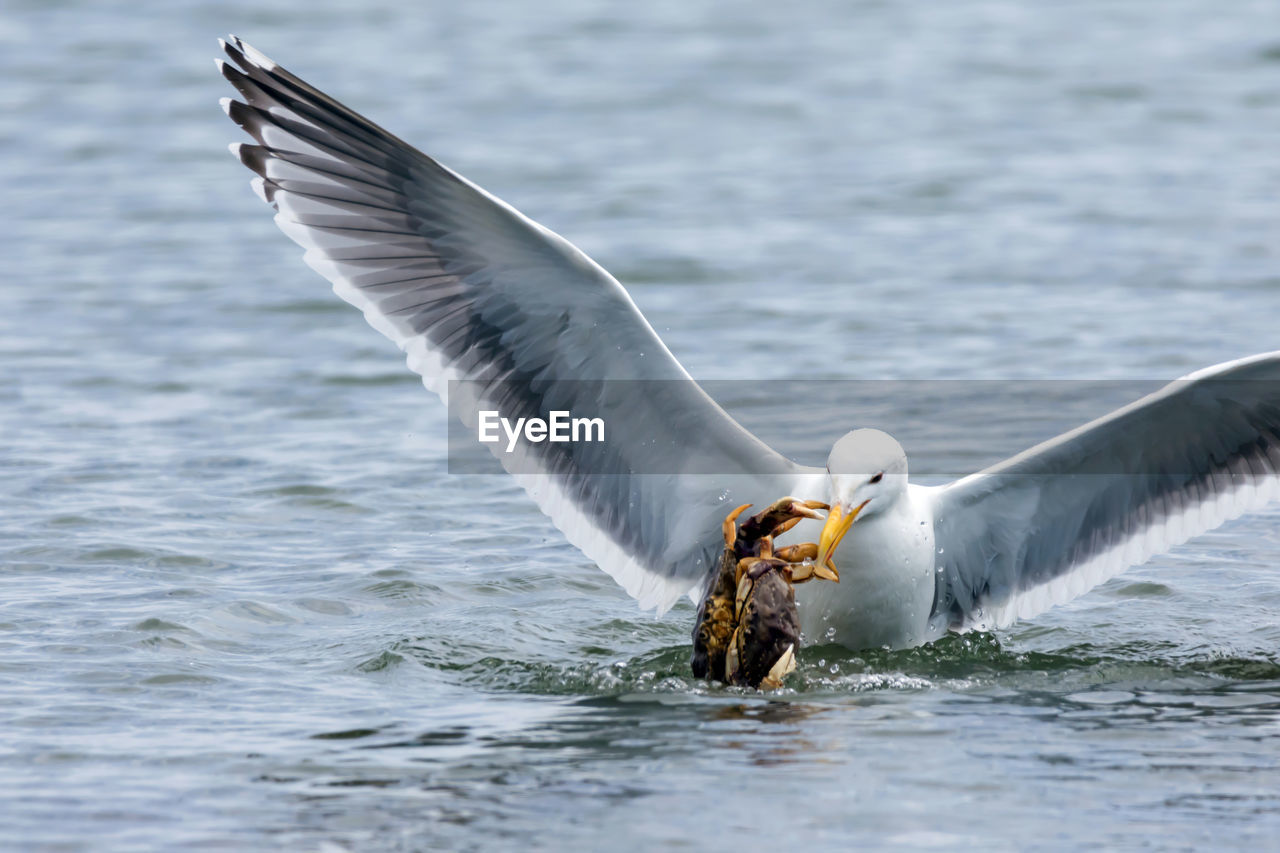 Close-Up Of Seagull Feeding In Water