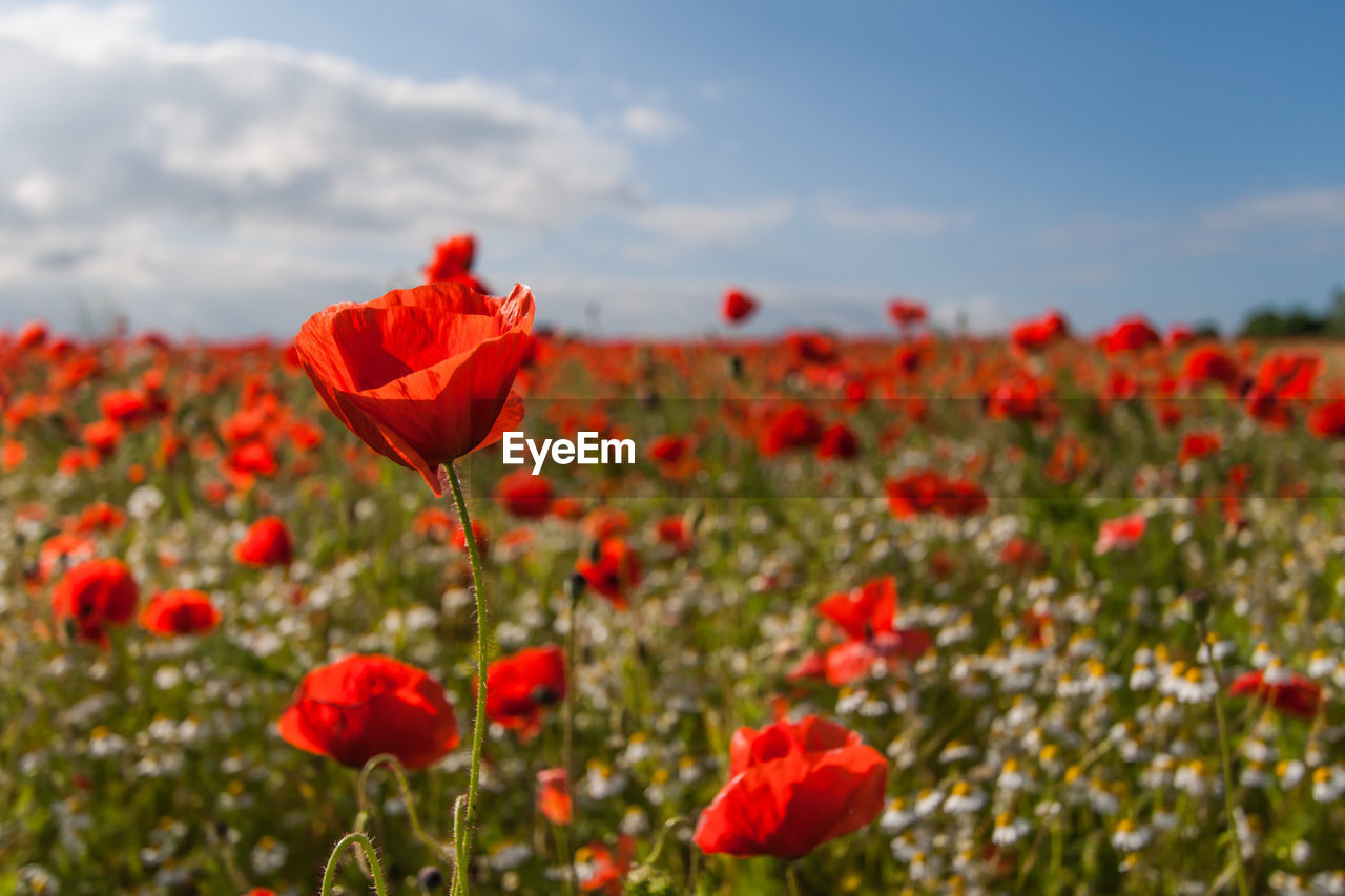 flower, poppy, nature, red, growth, beauty in nature, petal, fragility, plant, flower head, field, freshness, blooming, blossom, spring, summer, no people, tranquility, outdoors, sky, day, close-up