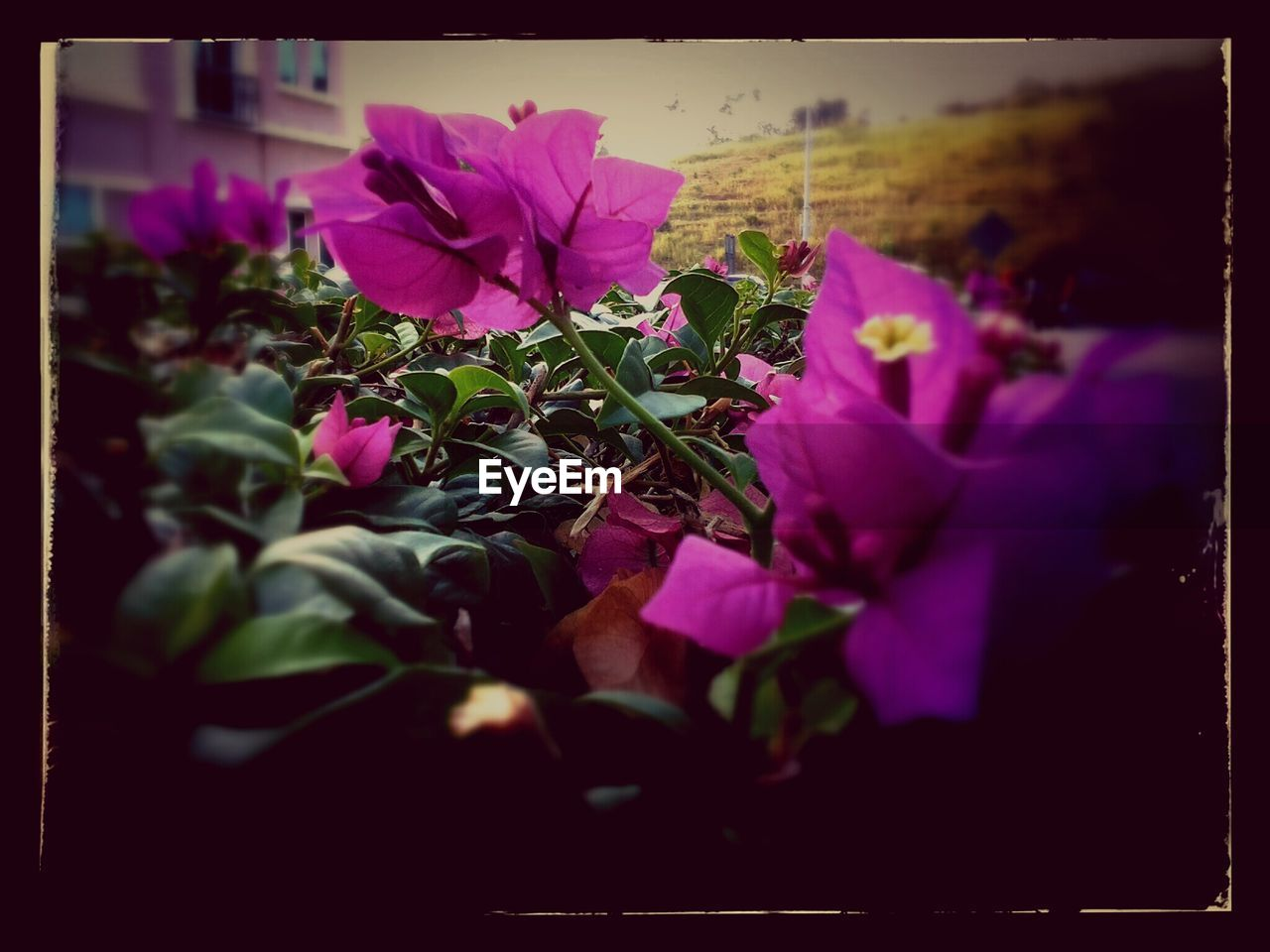 flower, nature, beauty in nature, growth, petal, plant, fragility, no people, purple, pink color, outdoors, flower head, blooming, freshness, close-up, bougainvillea, day, petunia