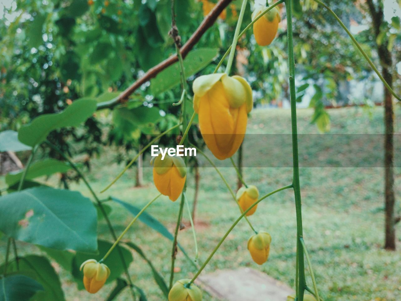 growth, yellow, leaf, plant, nature, day, beauty in nature, outdoors, freshness, flower, focus on foreground, no people, tree, close-up, fragility, hanging, blooming, flower head