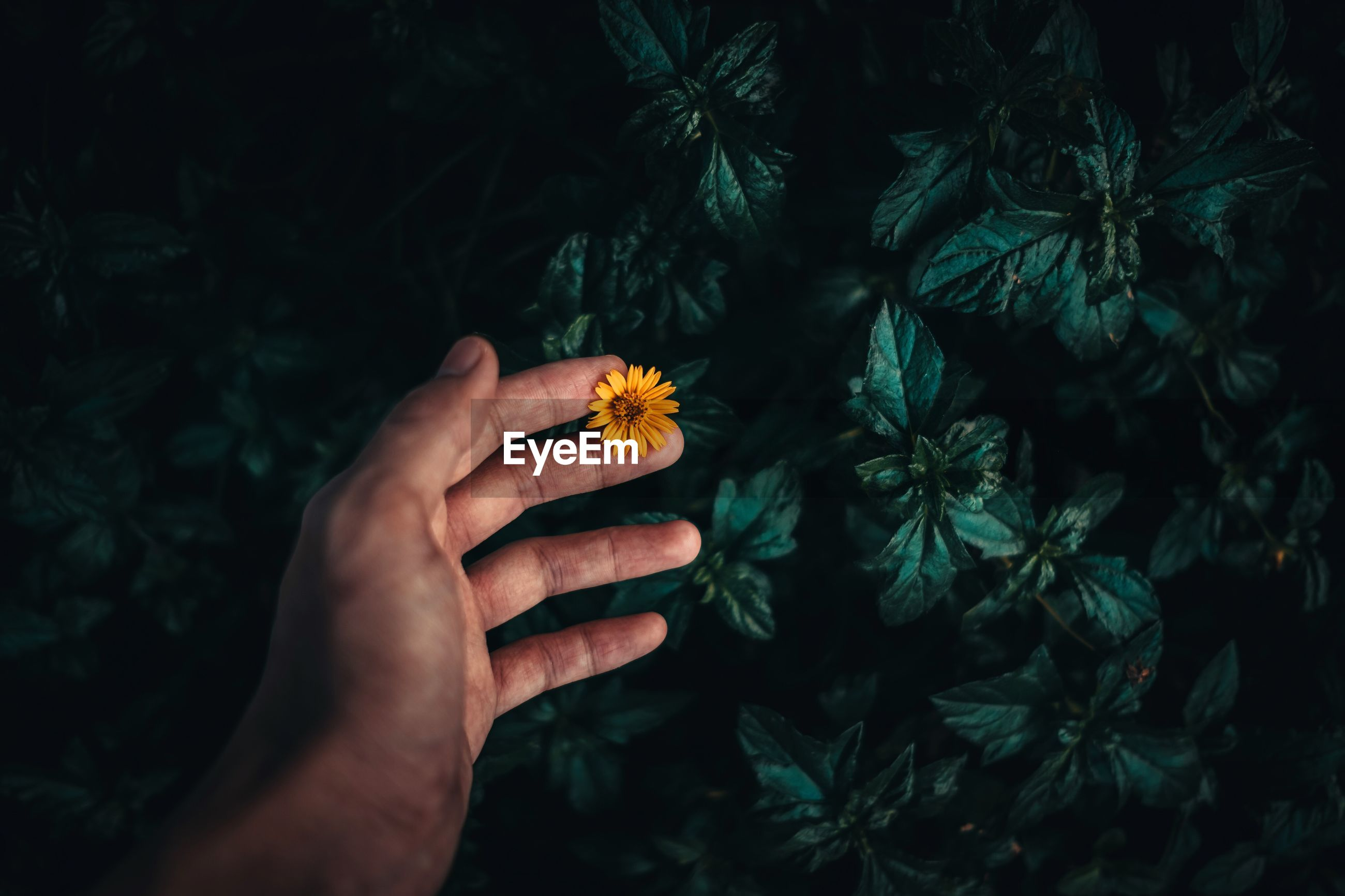 Close-up of hand holding yellow flower at night