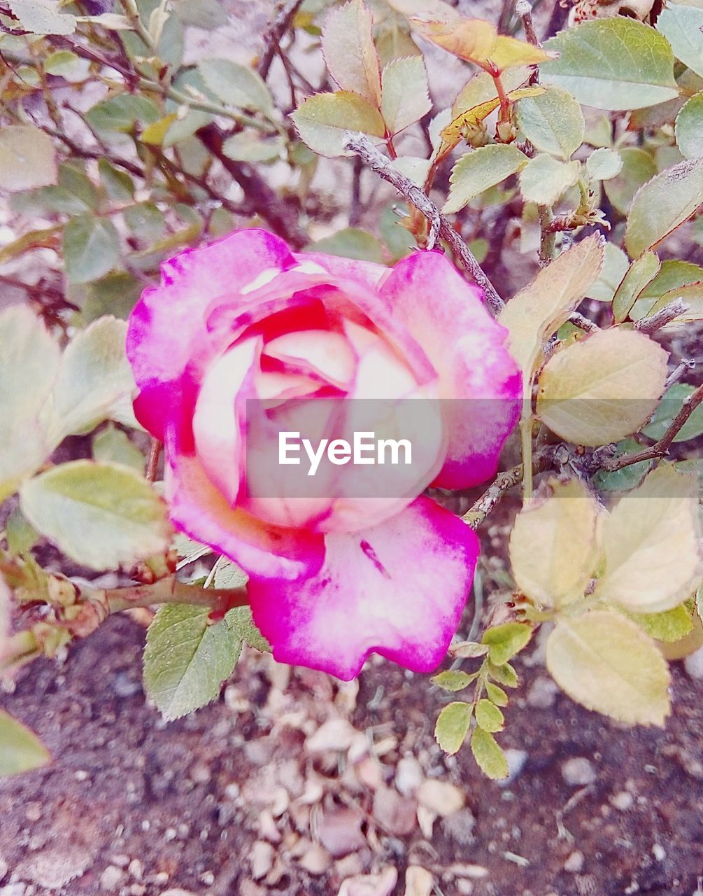plant, pink color, beauty in nature, flower, close-up, flowering plant, freshness, growth, petal, vulnerability, nature, no people, fragility, day, plant part, leaf, outdoors, inflorescence, selective focus, botany, flower head, springtime