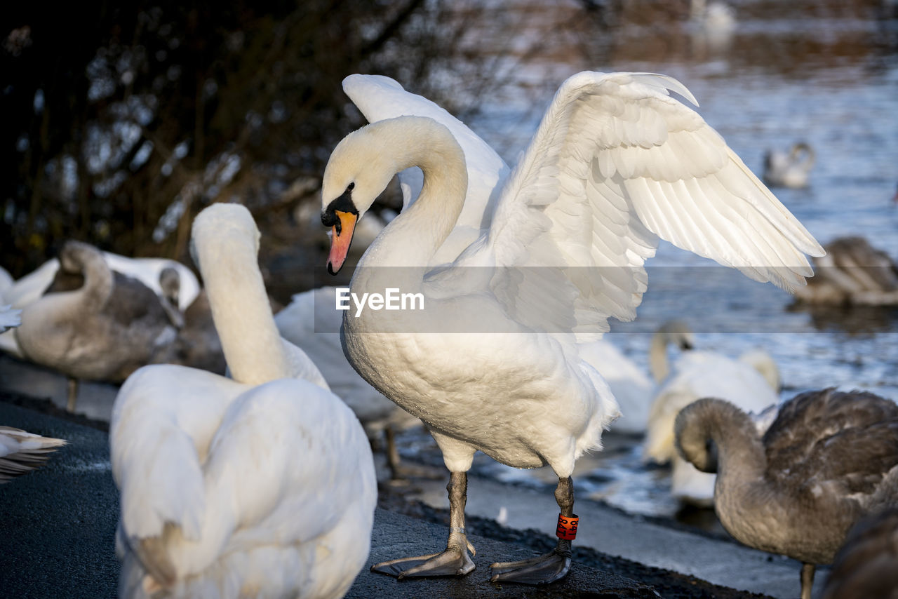 animal, bird, animal themes, vertebrate, animal wildlife, animals in the wild, water, group of animals, white color, lake, two animals, no people, swan, focus on foreground, nature, day, perching, outdoors, beak