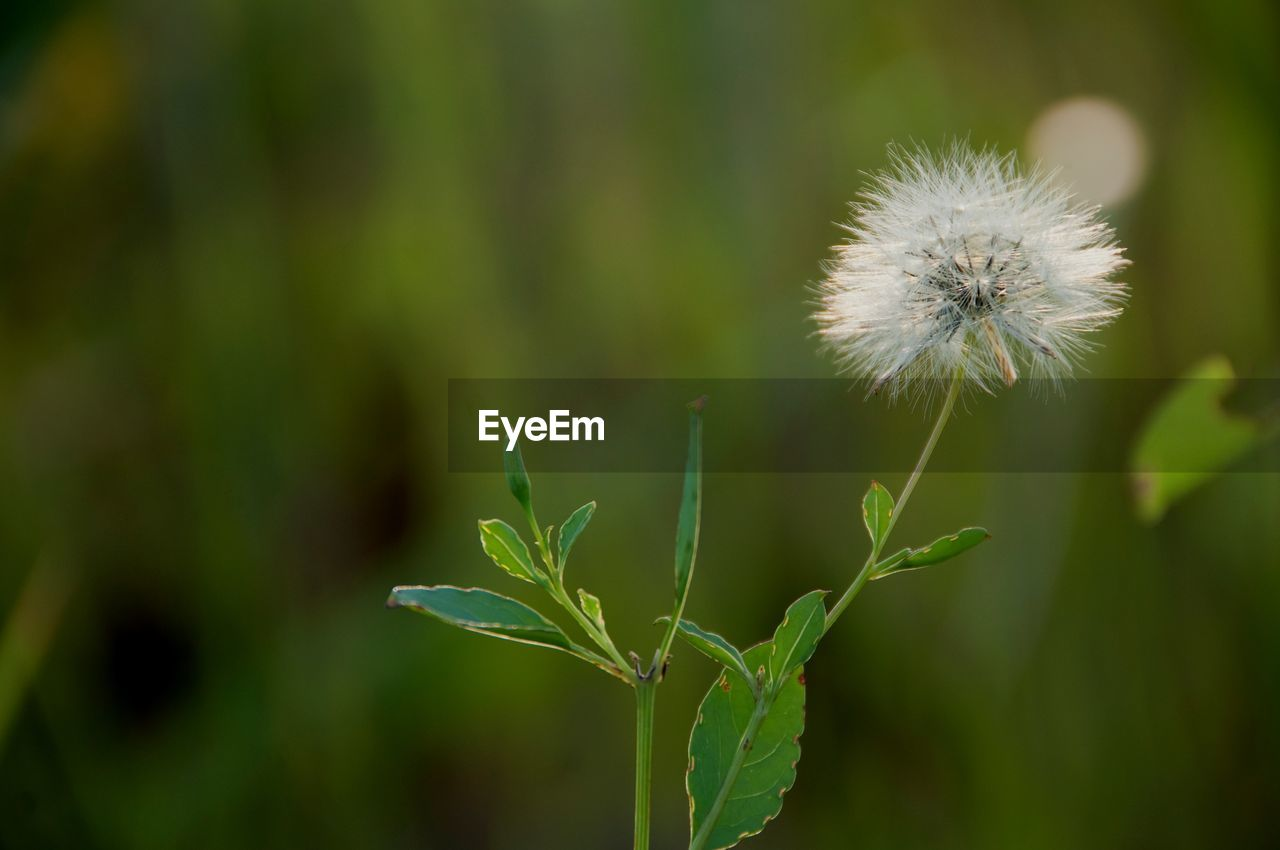 plant, growth, beauty in nature, fragility, green color, flower, freshness, flowering plant, vulnerability, close-up, dandelion, focus on foreground, nature, no people, day, plant stem, flower head, inflorescence, plant part, leaf, outdoors, softness, dandelion seed