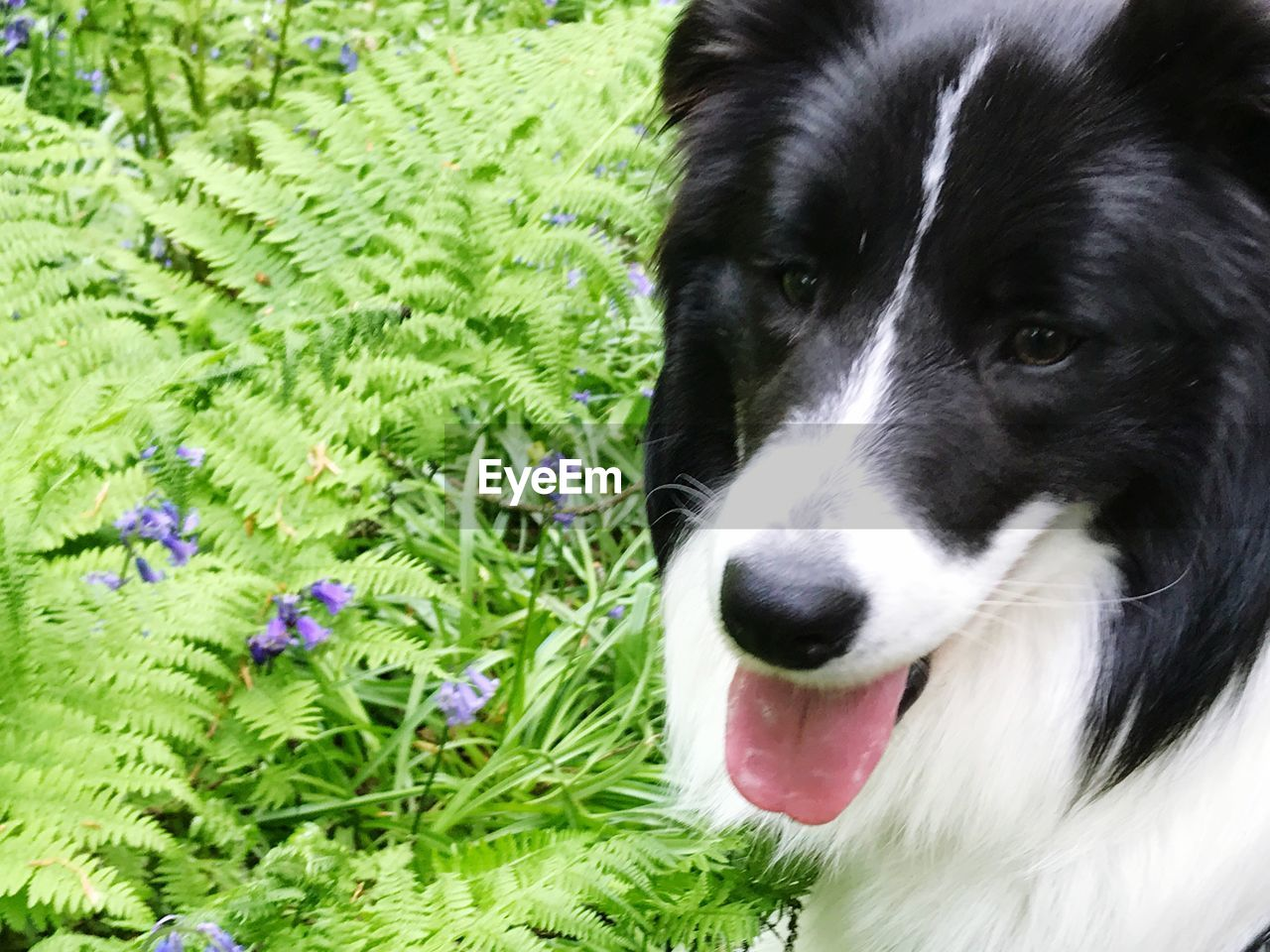 one animal, domestic, pets, domestic animals, animal themes, mammal, animal, dog, canine, vertebrate, plant, green color, no people, animal body part, close-up, border collie, nature, looking, looking away, day, animal head, animal tongue, mouth open