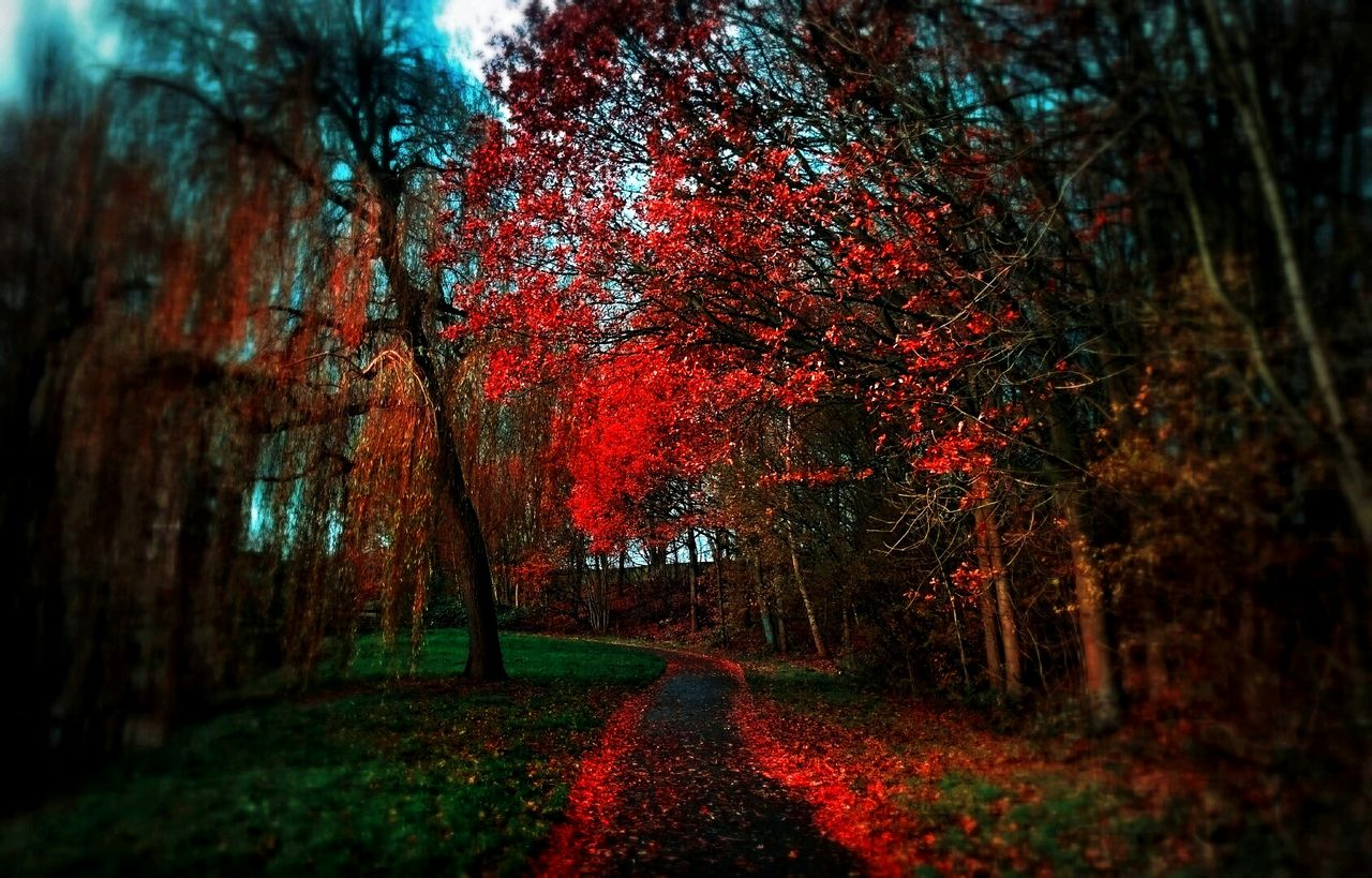 autumn, nature, tree, the way forward, beauty in nature, tranquility, tranquil scene, change, scenics, red, growth, day, outdoors, no people
