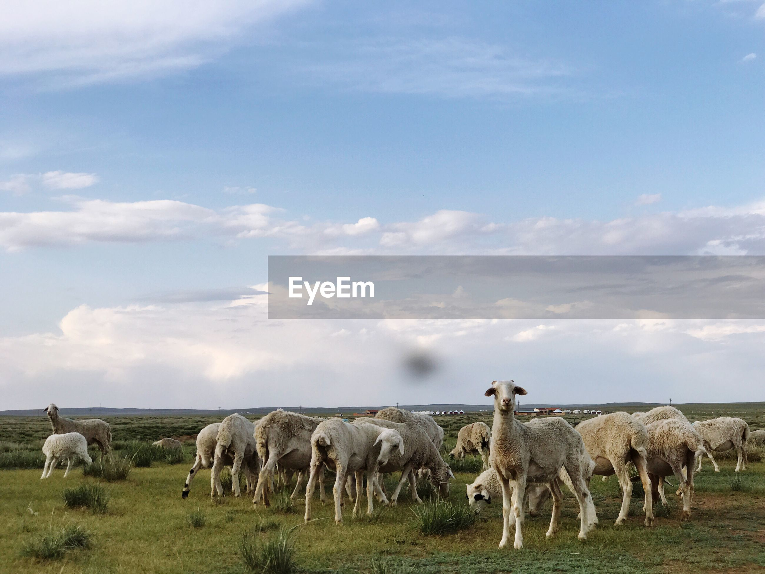 mammal, livestock, domestic animals, sky, animal themes, large group of animals, grazing, cloud - sky, sheep, flock of sheep, herbivorous, field, landscape, no people, cow, nature, grass, outdoors, day, beauty in nature