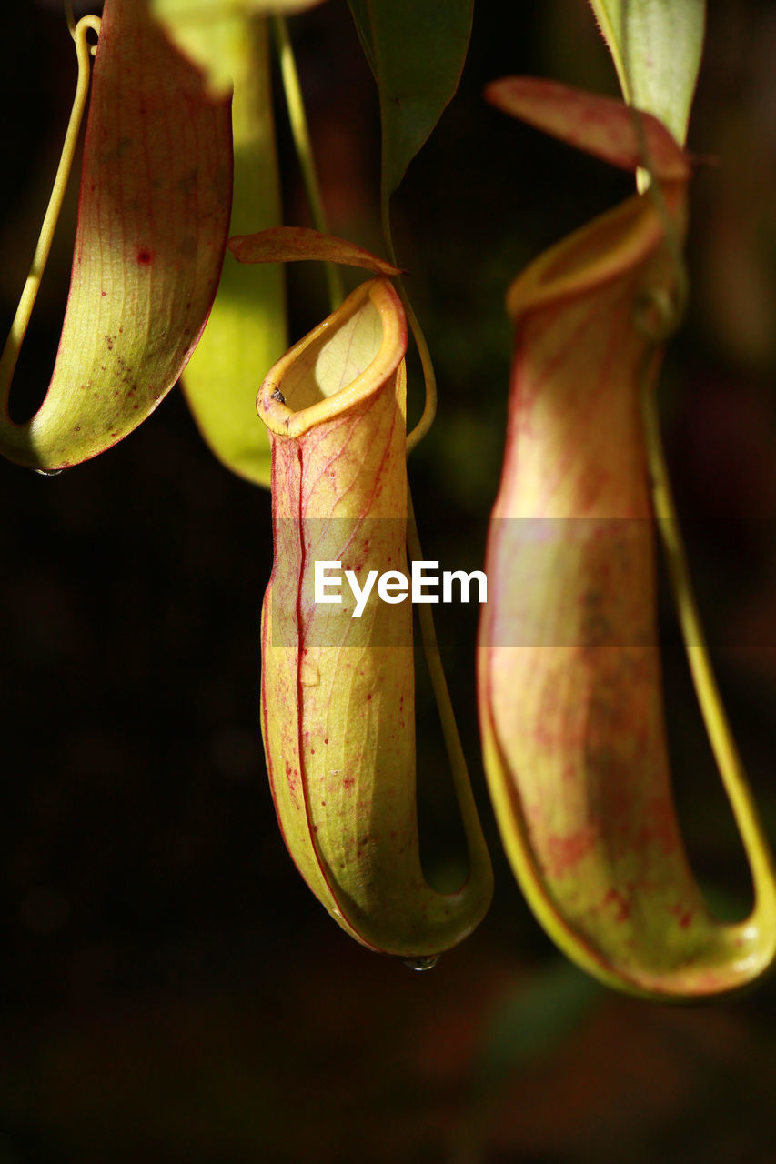 Close-up of pitcher plants