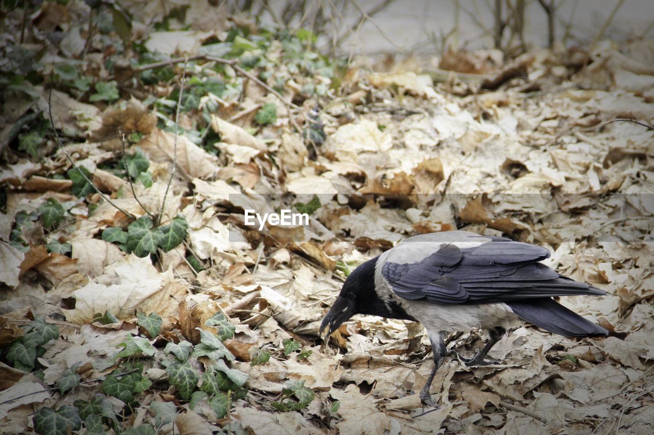 one animal, animal themes, animals in the wild, bird, no people, nature, day, leaf, outdoors, animal wildlife, close-up