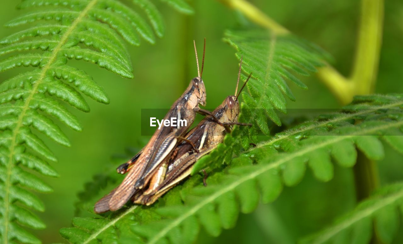 Close-Up Of Crickets Mating On Plants