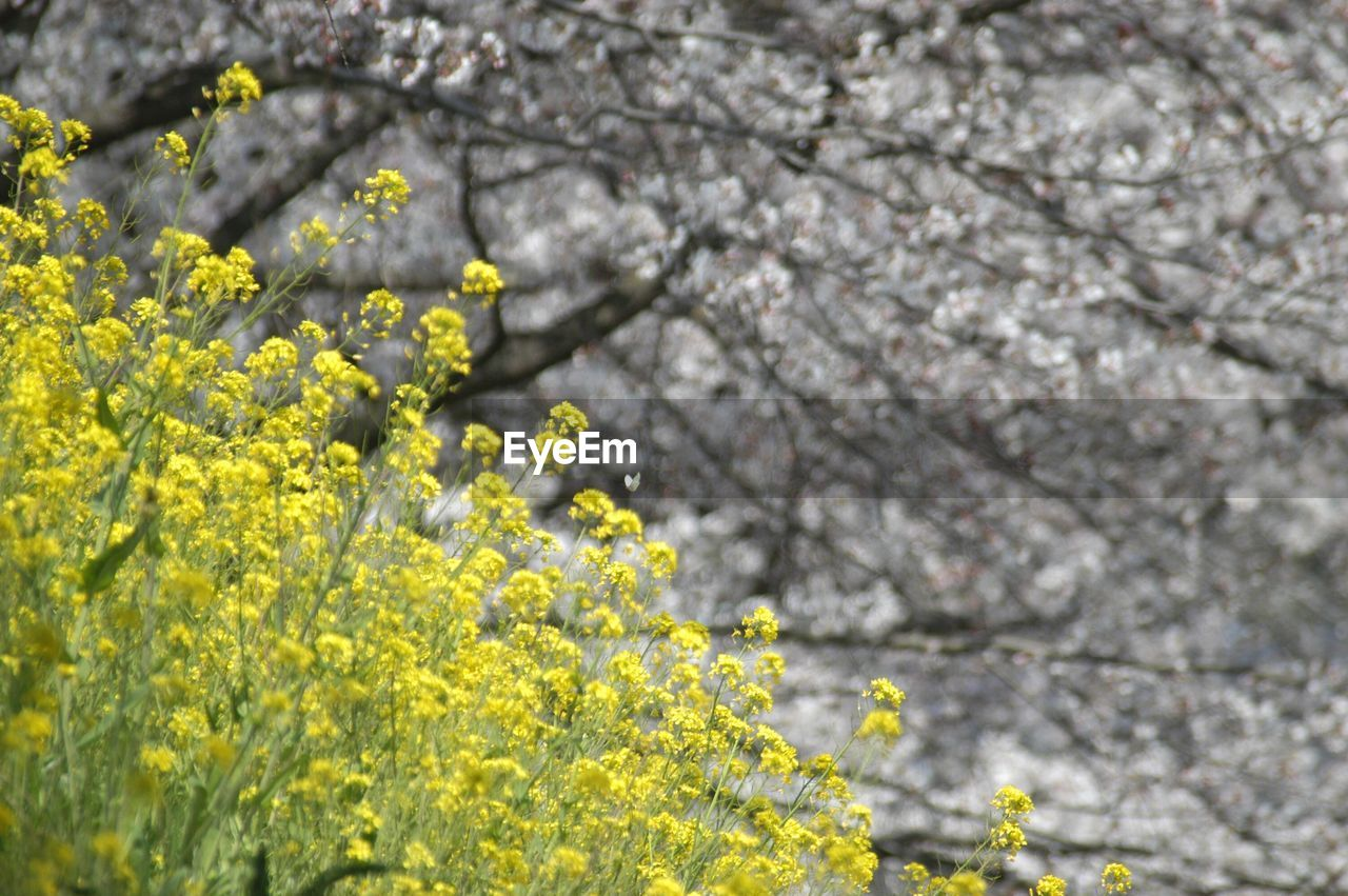 flower, growth, blossom, yellow, fragility, springtime, nature, tree, beauty in nature, freshness, botany, no people, plant, petal, day, outdoors, blooming, branch, mustard plant, close-up, flower head