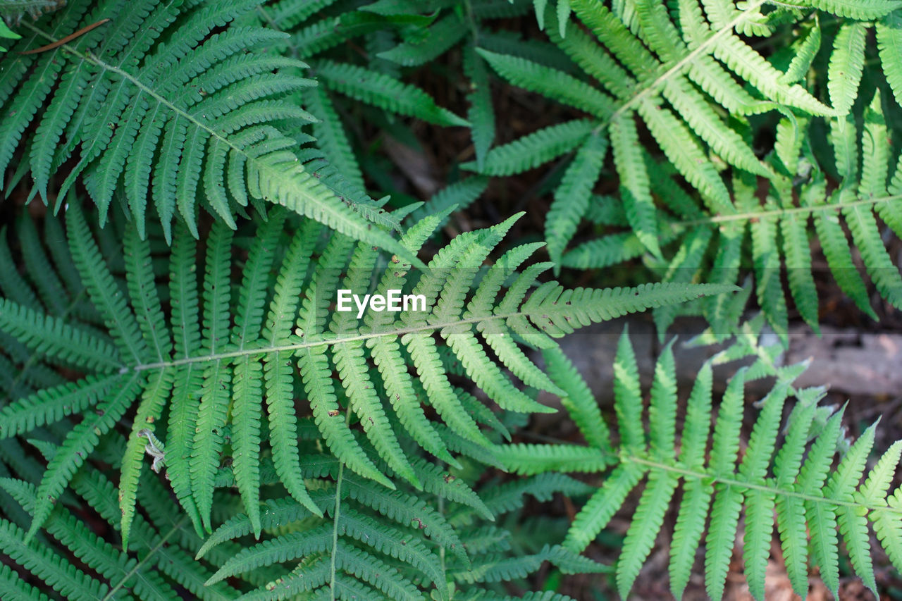 High Angle View Of Fern Plant