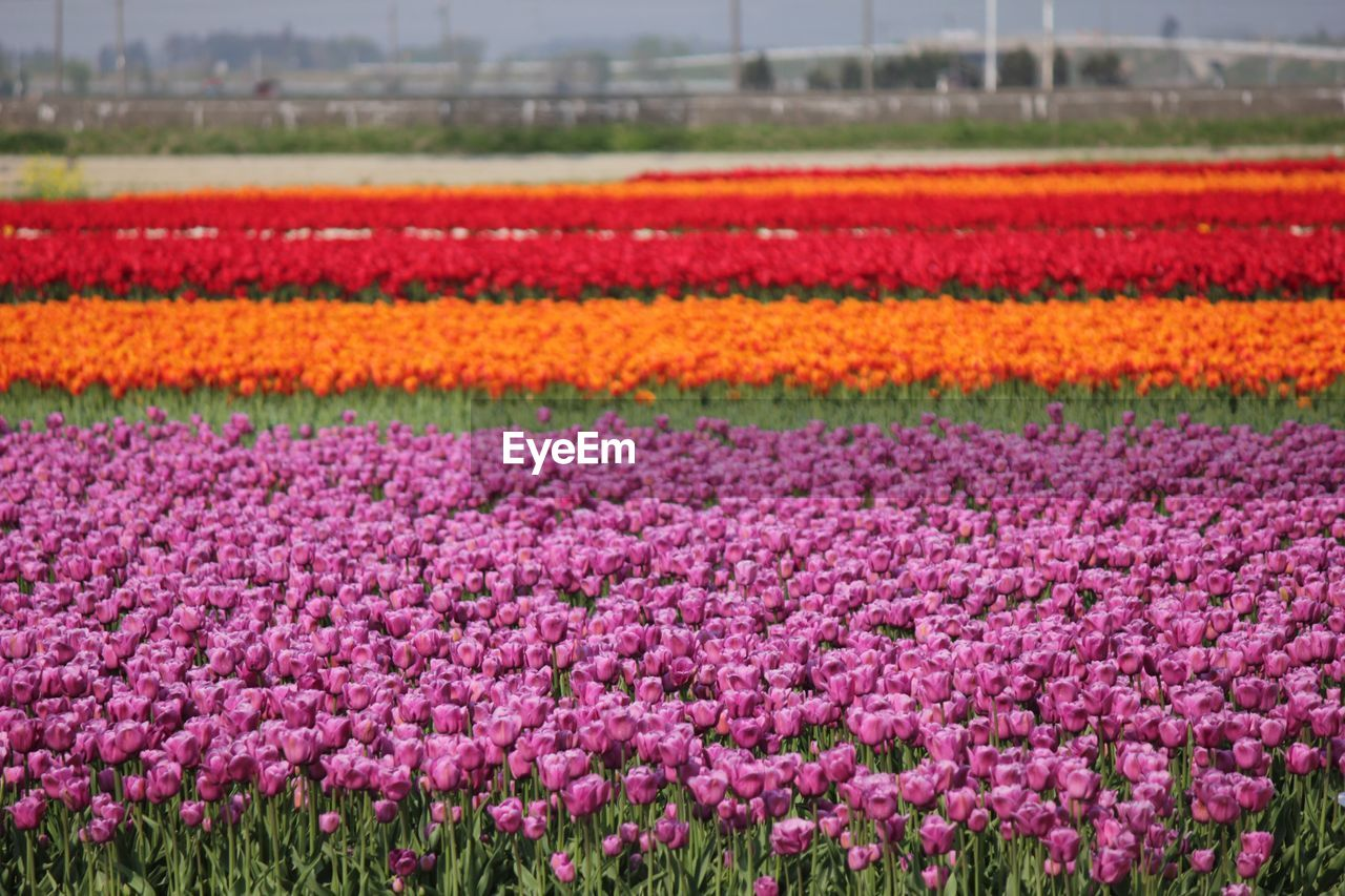 flower, flowering plant, plant, beauty in nature, freshness, field, nature, growth, land, flowerbed, no people, landscape, environment, red, tranquility, day, tulip, purple, vulnerability, tranquil scene, outdoors, ornamental garden, flower head