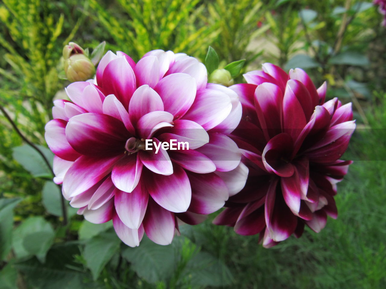 flowering plant, flower, plant, petal, freshness, fragility, vulnerability, beauty in nature, flower head, inflorescence, pink color, close-up, growth, nature, day, focus on foreground, no people, dahlia, outdoors, botany, purple