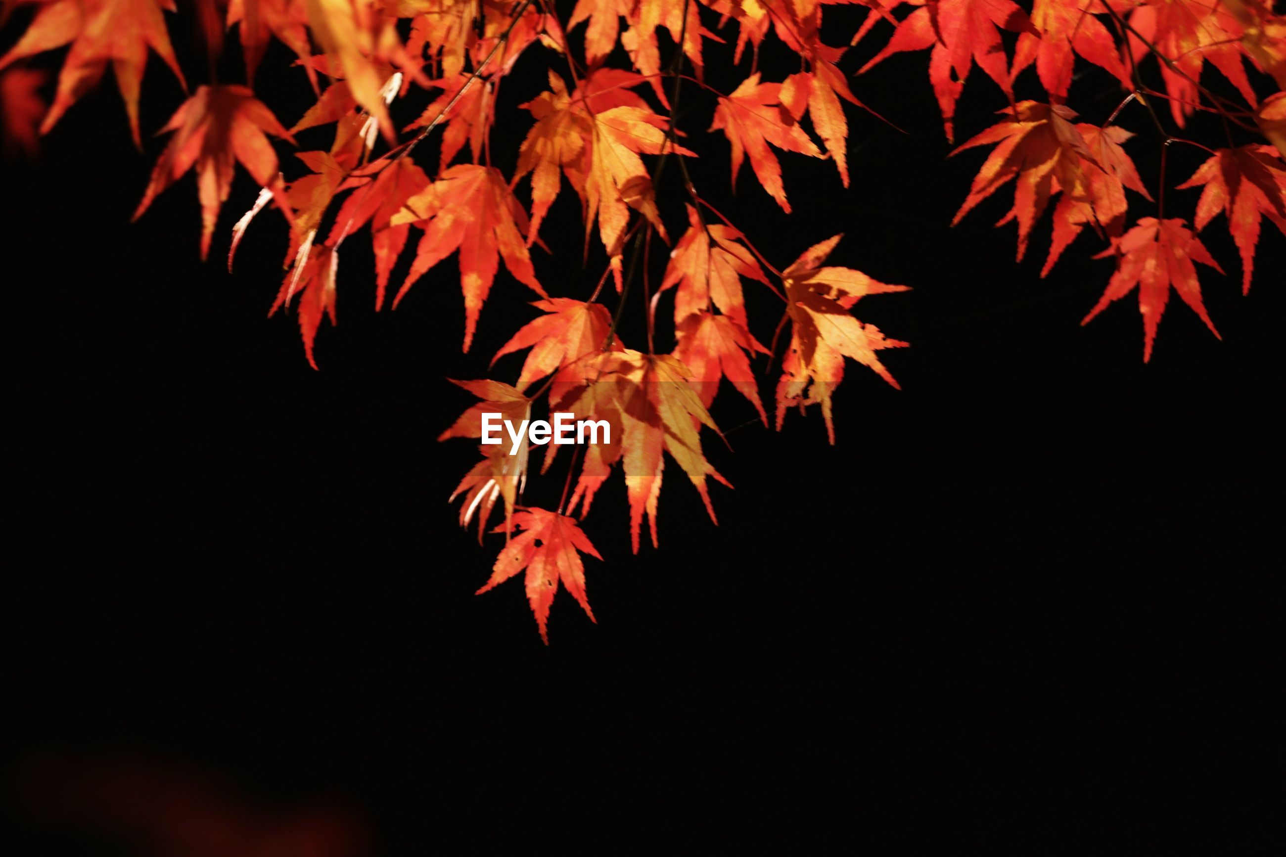 leaf, autumn, nature, change, maple leaf, close-up, orange color, maple tree, red, tree, beauty in nature, no people, branch, maple, outdoors, day