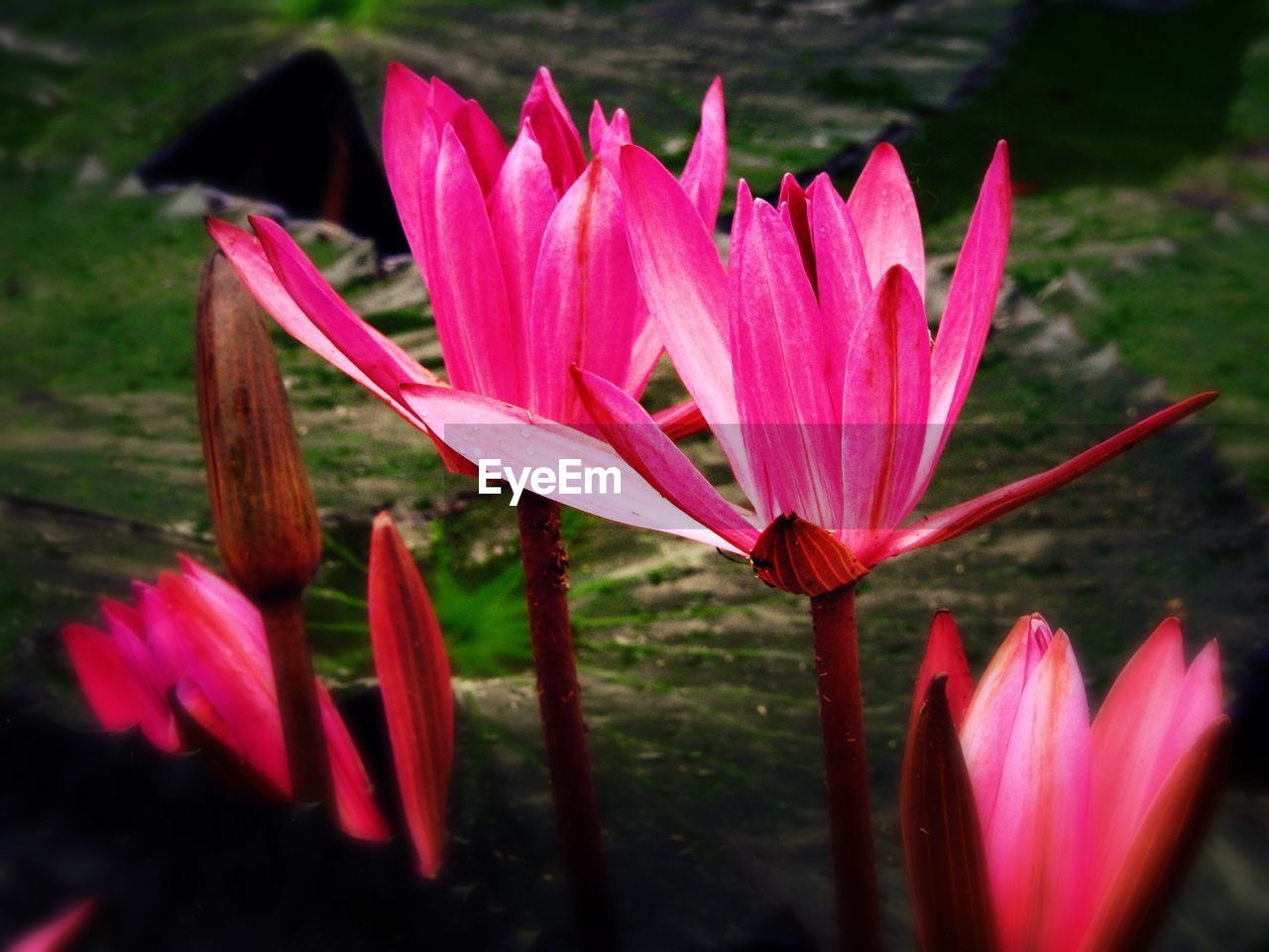 flower, petal, fragility, freshness, beauty in nature, nature, growth, flower head, pink color, plant, close-up, no people, water, day, lotus, lotus water lily, outdoors, blooming, day lily, crocus