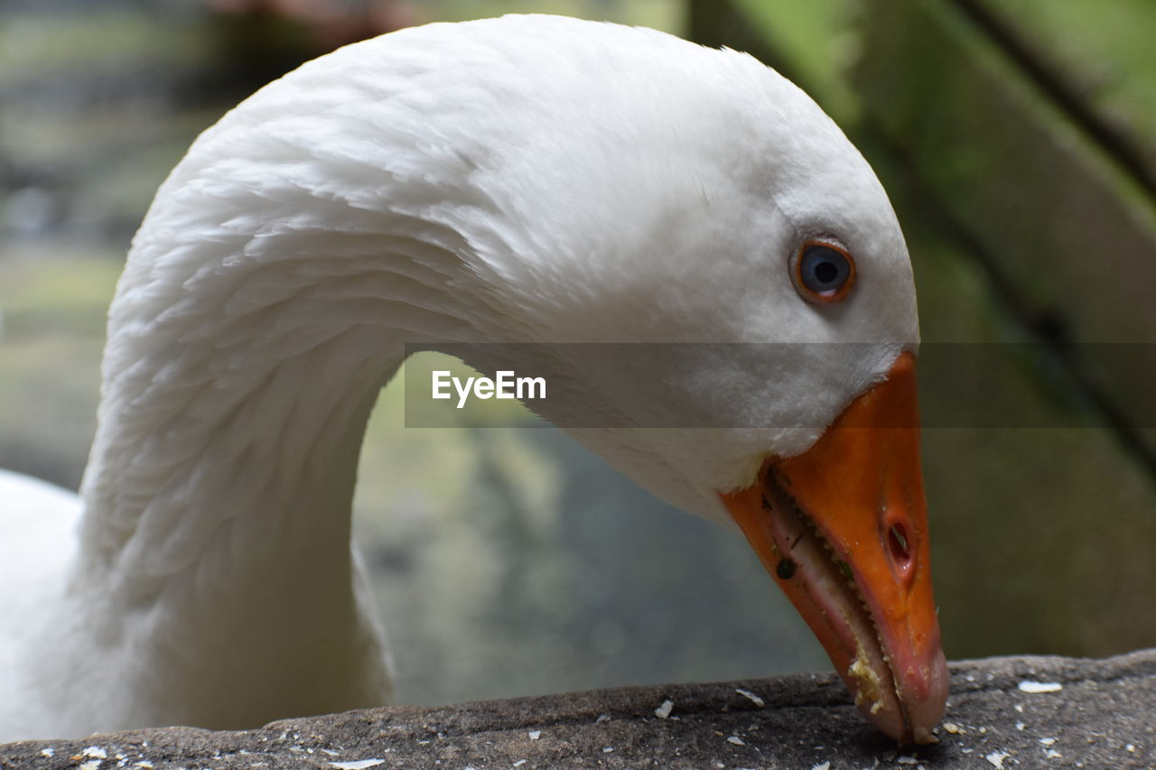 animal themes, animal, animal wildlife, bird, vertebrate, one animal, close-up, animals in the wild, focus on foreground, animal body part, no people, beak, nature, orange color, white color, day, animal head, swan, outdoors, water bird, animal neck, animal eye