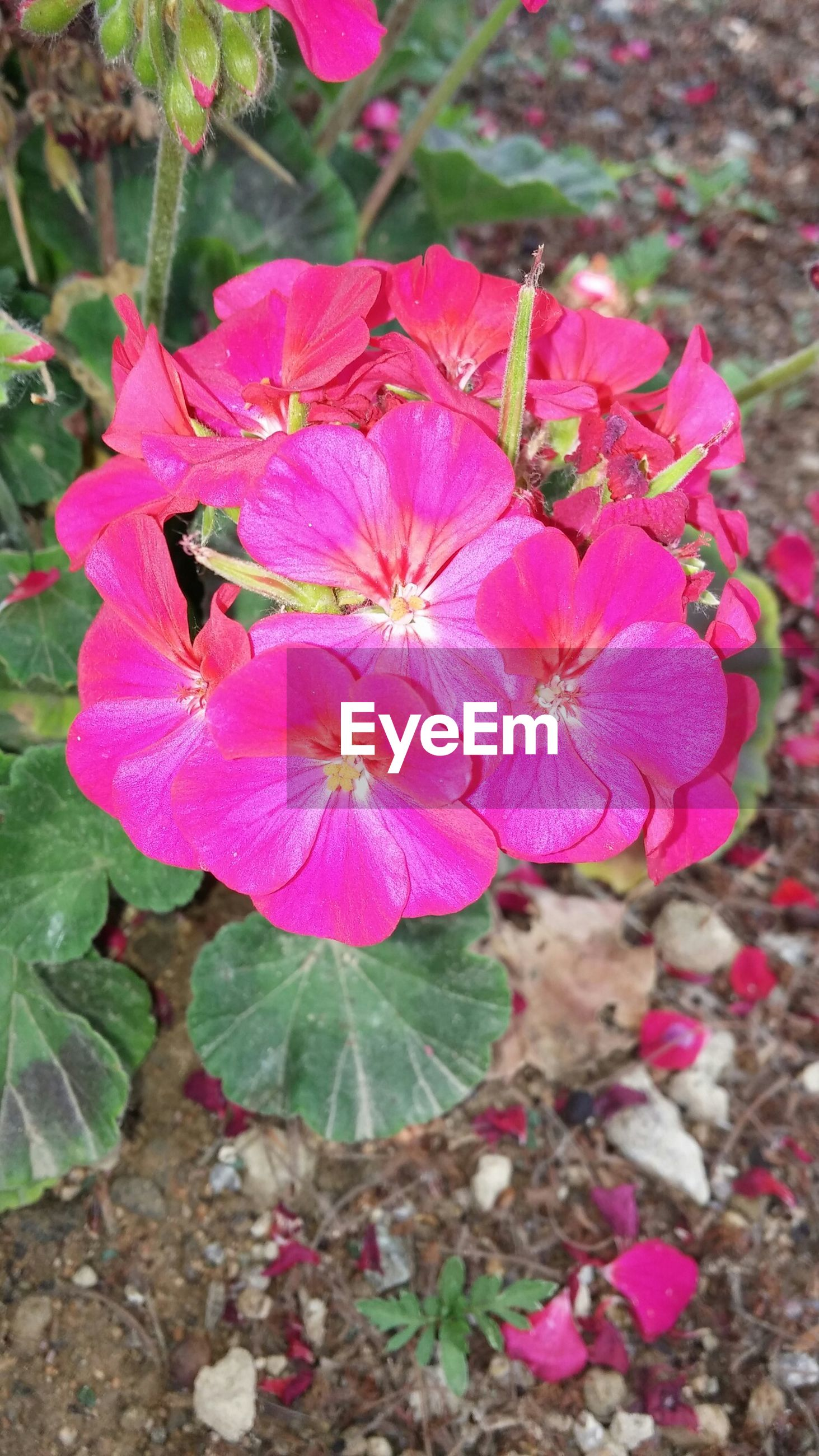 flower, freshness, fragility, growth, pink color, petal, beauty in nature, flower head, close-up, nature, focus on foreground, plant, blooming, leaf, high angle view, in bloom, pink, day, purple, outdoors