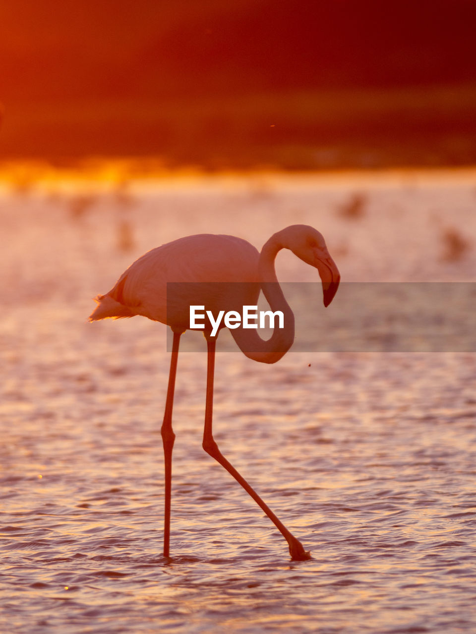 sunset, water, animal themes, animal wildlife, animal, sea, animals in the wild, orange color, vertebrate, nature, bird, one animal, focus on foreground, sky, no people, beauty in nature, flamingo, rippled, side view, outdoors