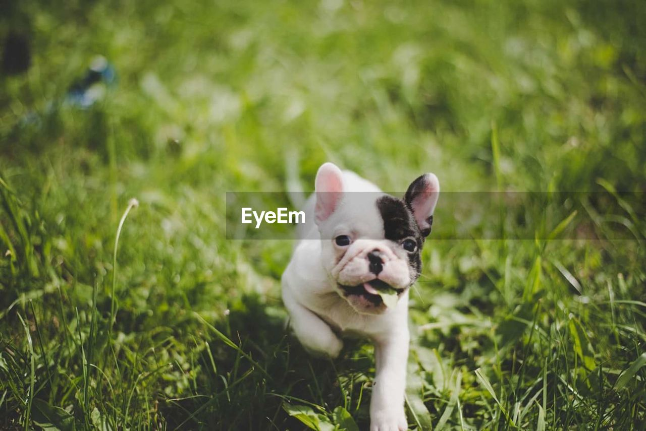 one animal, animal themes, pets, domestic animals, grass, dog, mammal, no people, puppy, looking at camera, day, cute, outdoors, young animal, portrait, close-up