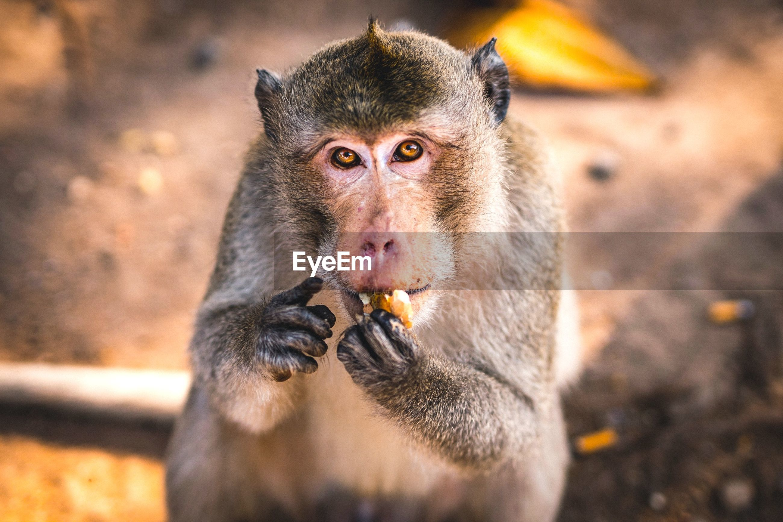 Close-up portrait of monkey eating food