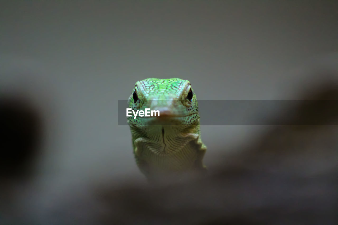 one animal, animal, animal themes, animals in the wild, animal wildlife, vertebrate, animal body part, close-up, no people, selective focus, portrait, reptile, animal head, looking at camera, nature, day, front view, lizard, eye, outdoors, animal eye, marine, animal mouth