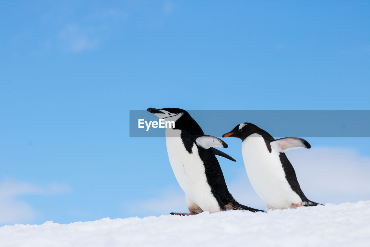 Penguins standing on snow covered field against sky